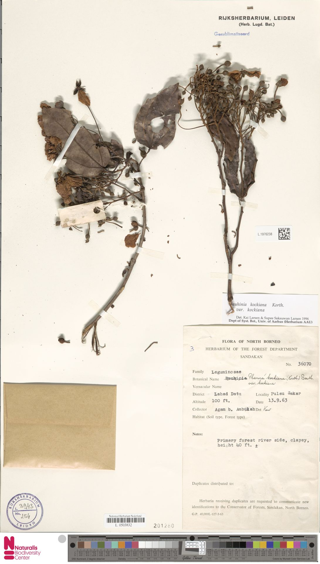 L.1976238 | Bauhinia kockiana var. kockiana