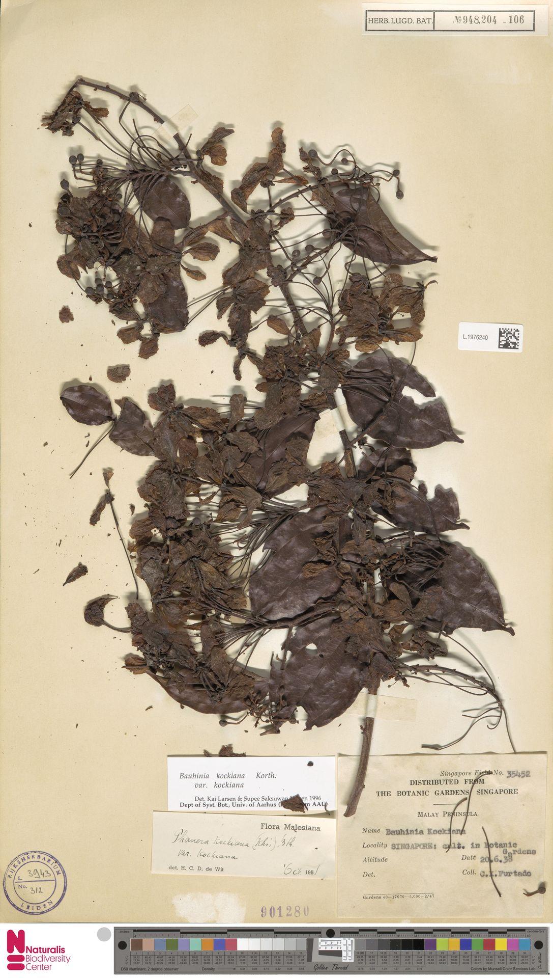 L.1976240 | Bauhinia kockiana var. kockiana