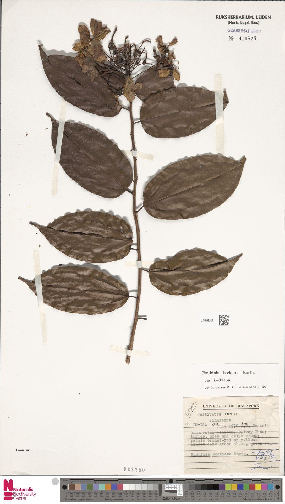 L.1976241 | Bauhinia kockiana var. kockiana