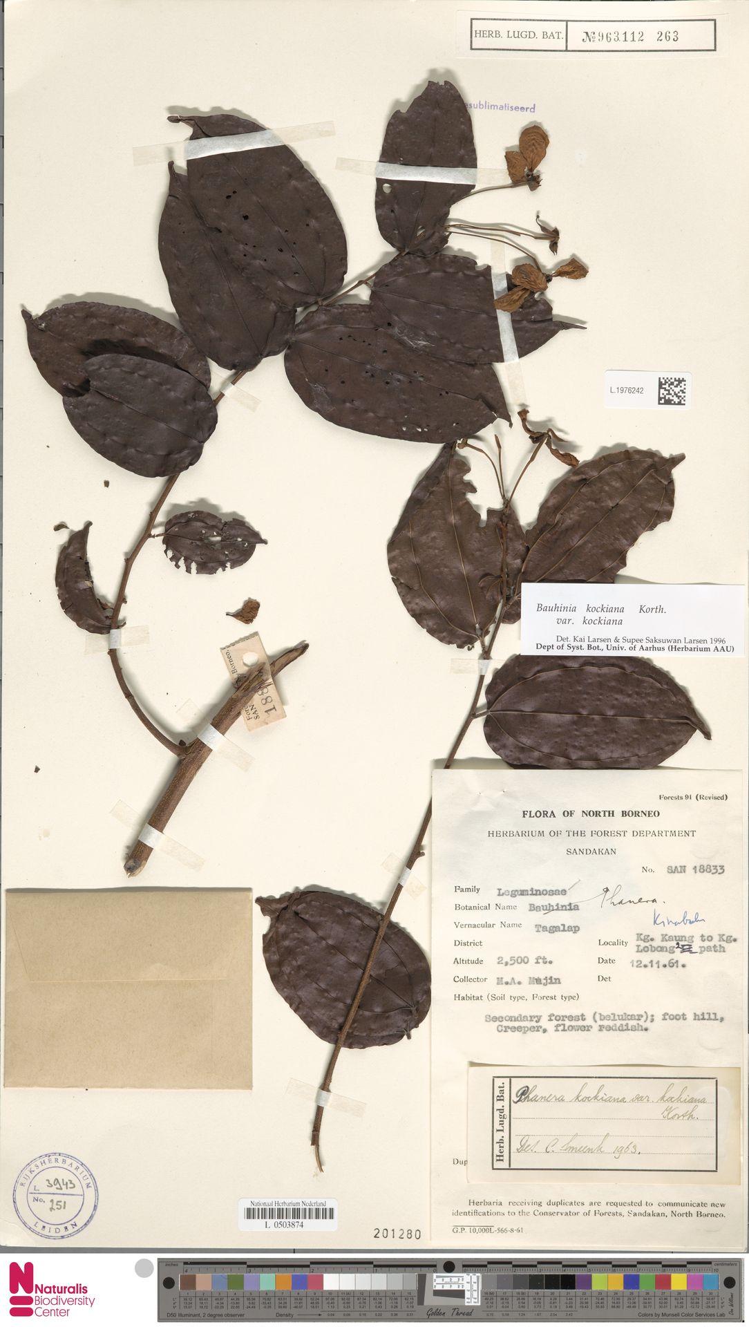 L.1976242 | Bauhinia kockiana var. kockiana