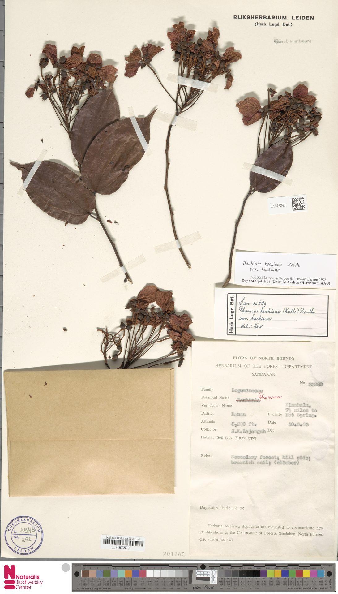 L.1976243 | Bauhinia kockiana var. kockiana
