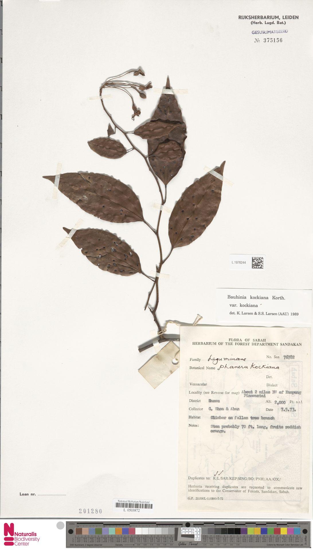 L.1976244 | Bauhinia kockiana var. kockiana