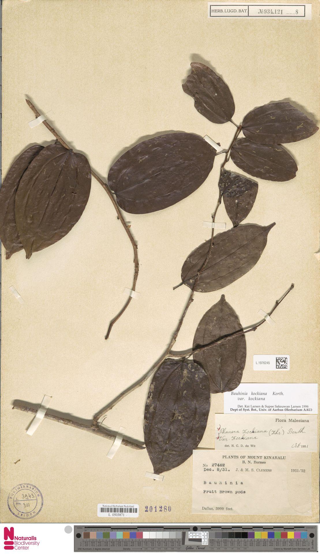 L.1976245 | Bauhinia kockiana var. kockiana