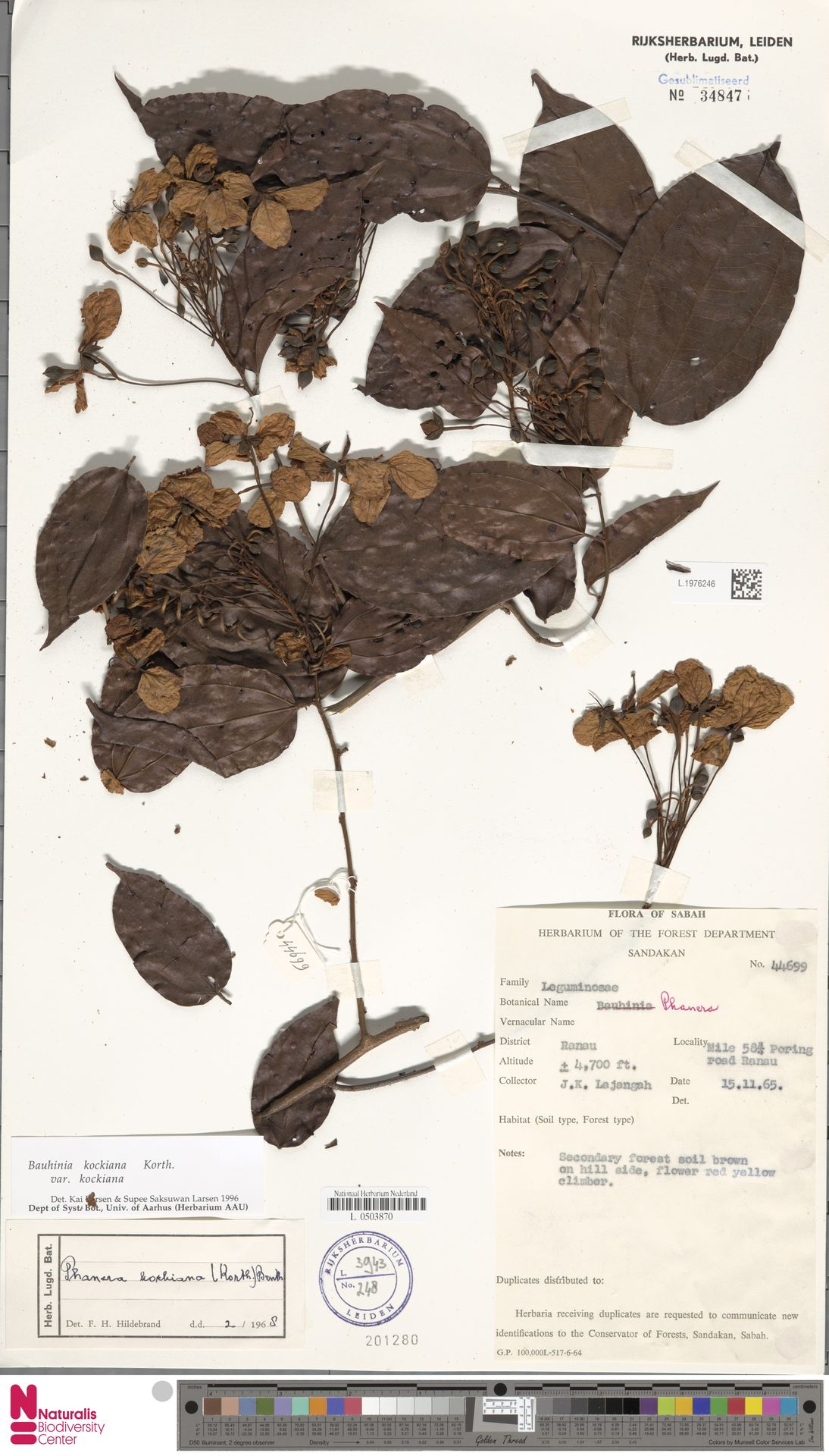 L.1976246 | Bauhinia kockiana var. kockiana