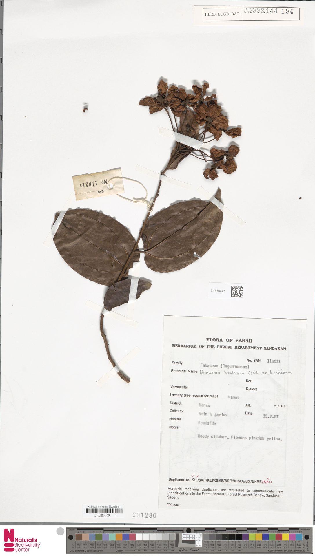 L.1976247 | Bauhinia kockiana var. kockiana