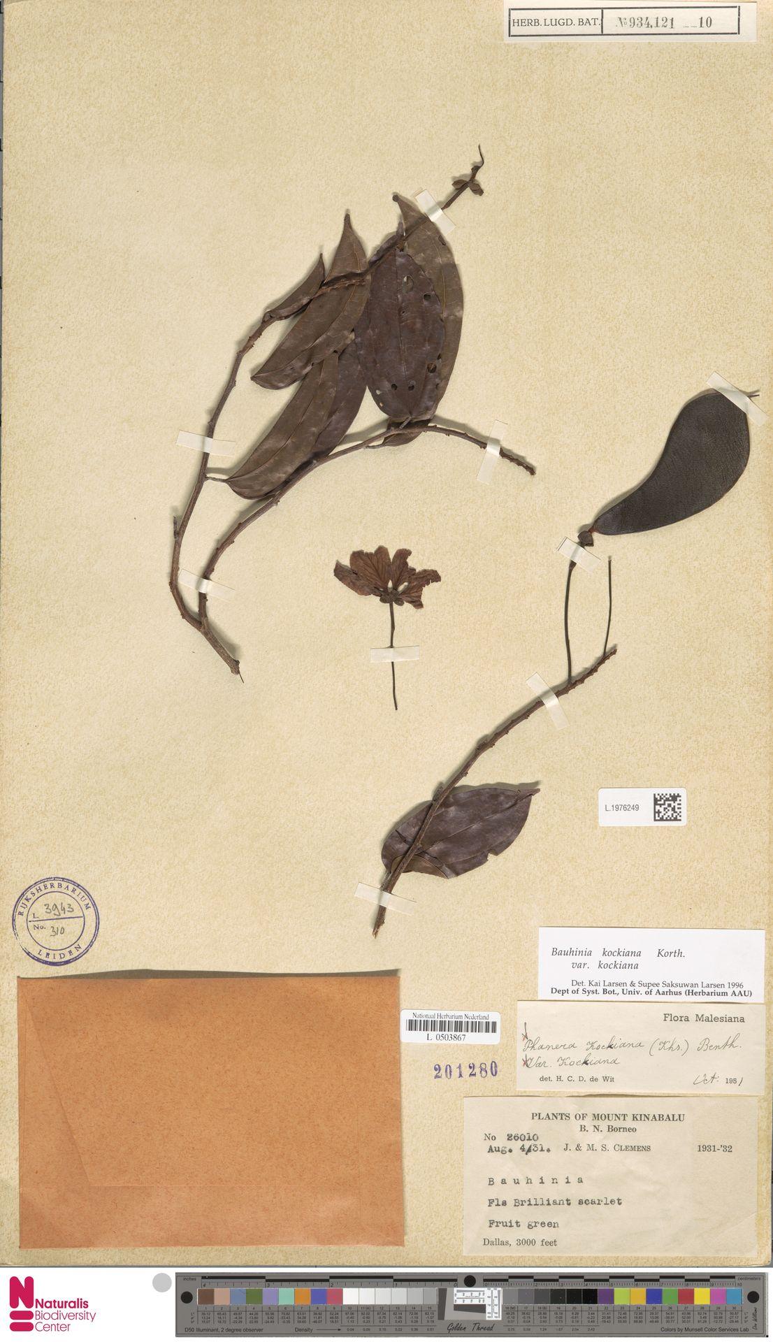 L.1976249 | Bauhinia kockiana var. kockiana