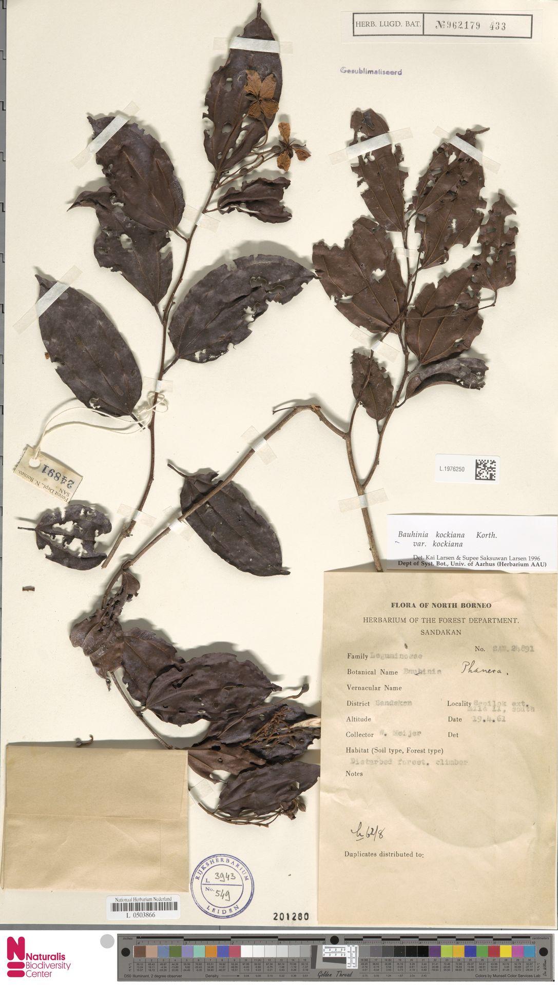 L.1976250 | Bauhinia kockiana var. kockiana