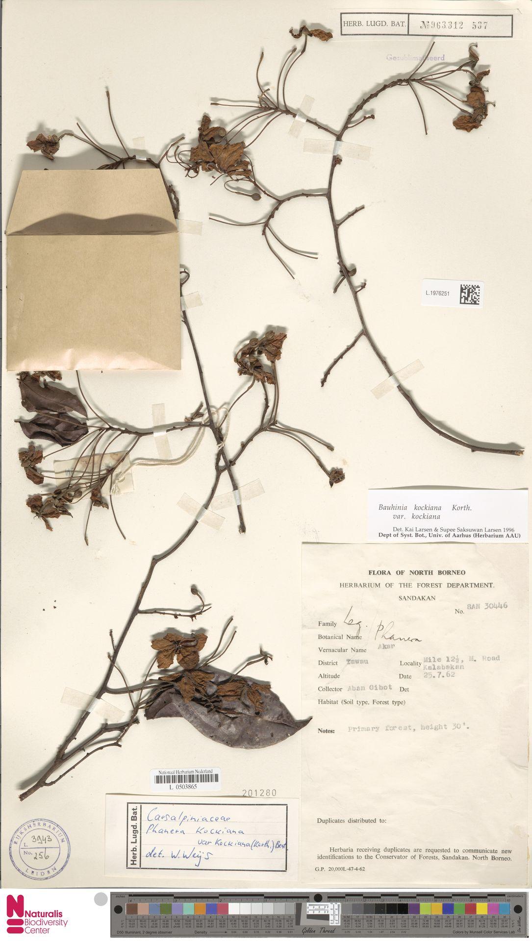 L.1976251 | Bauhinia kockiana var. kockiana