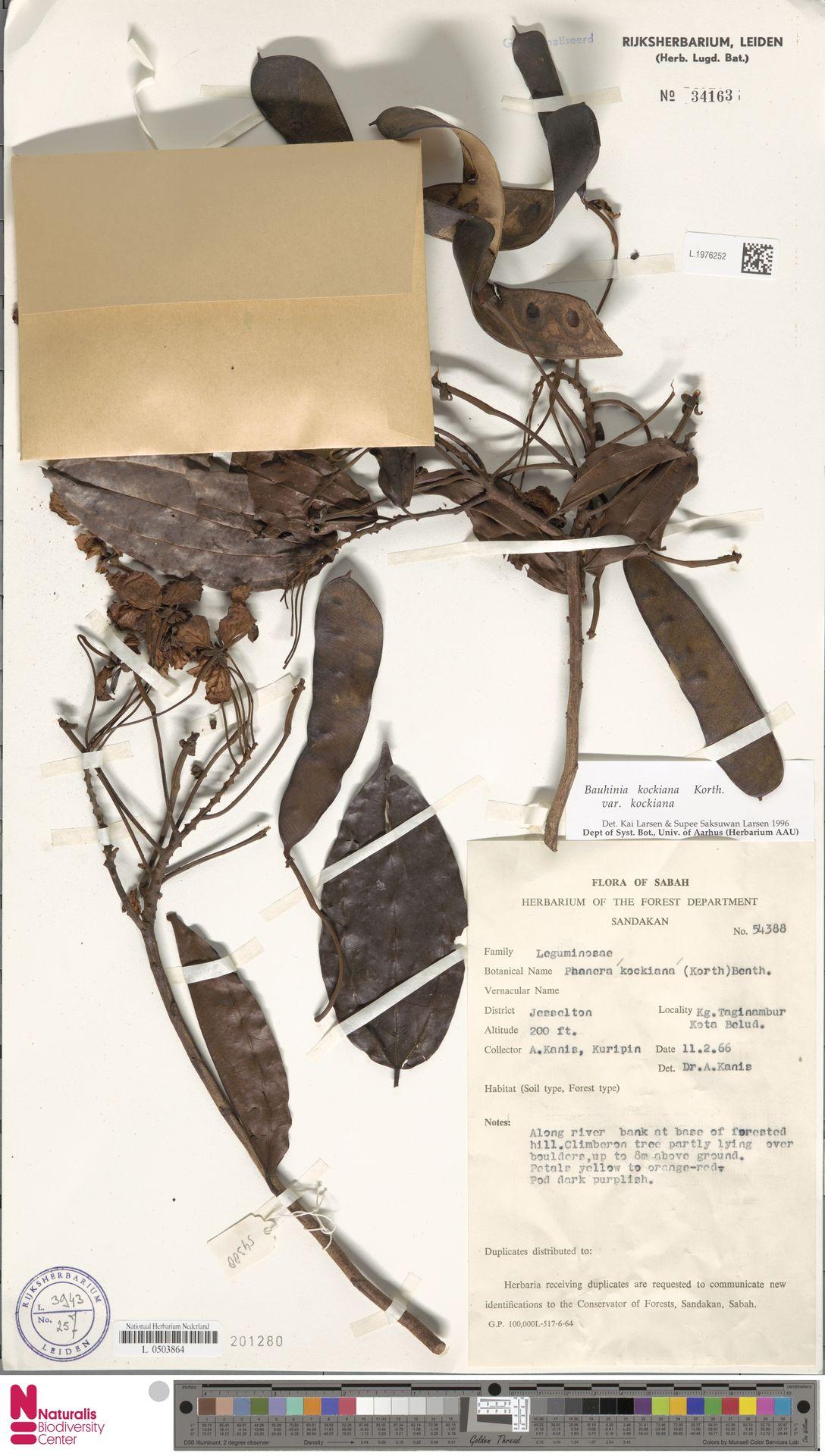 L.1976252 | Bauhinia kockiana var. kockiana