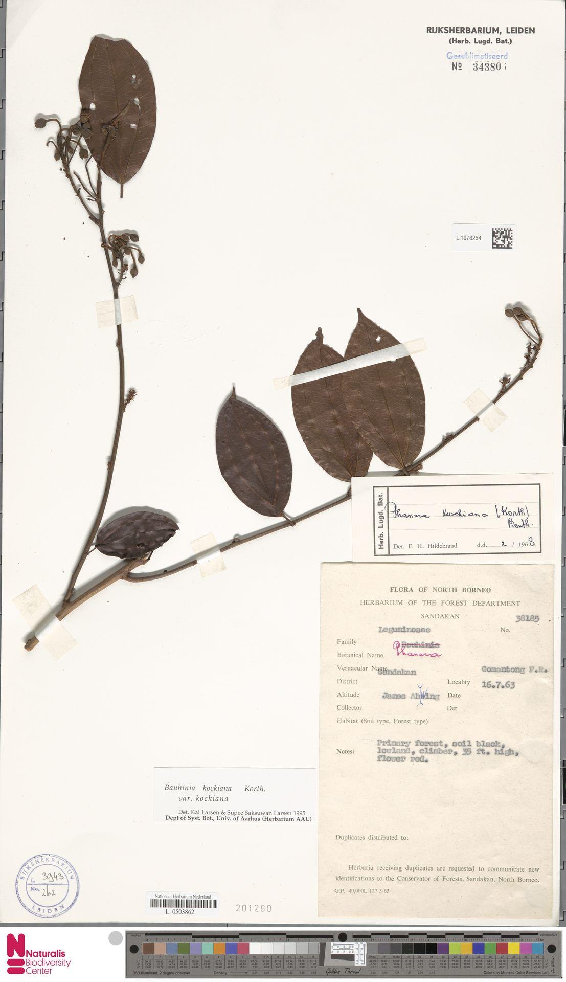L.1976254 | Bauhinia kockiana var. kockiana