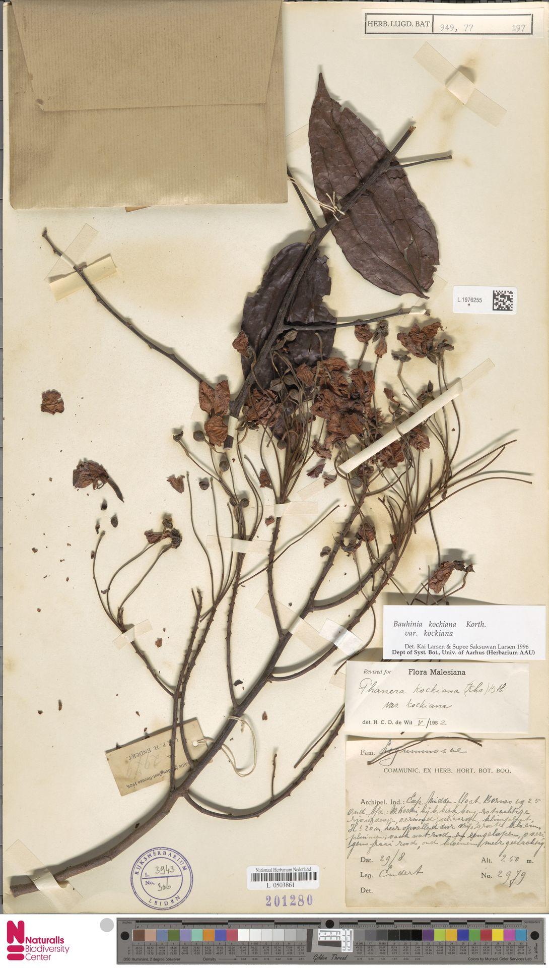 L.1976255 | Bauhinia kockiana var. kockiana