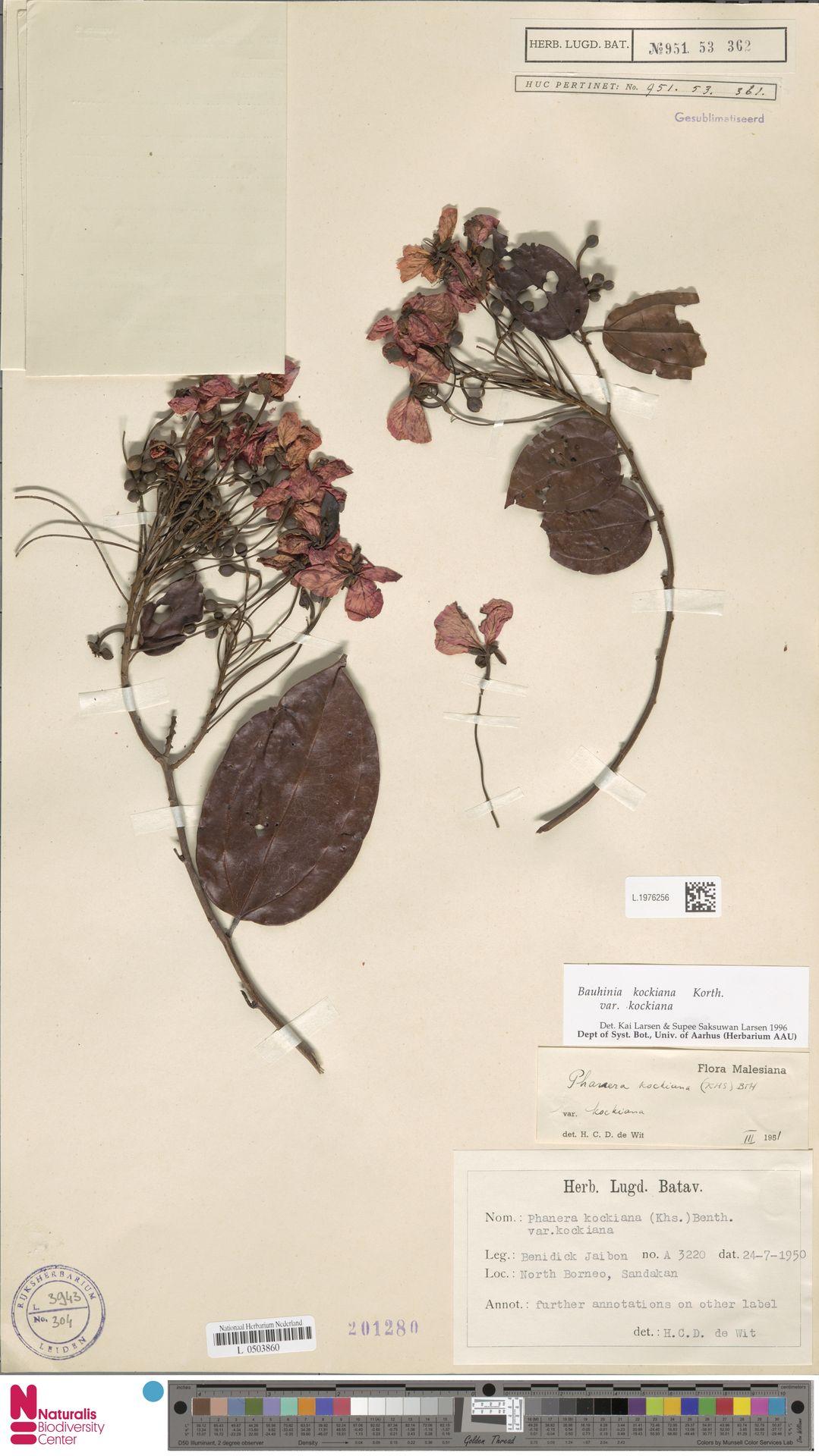 L.1976256 | Bauhinia kockiana var. kockiana