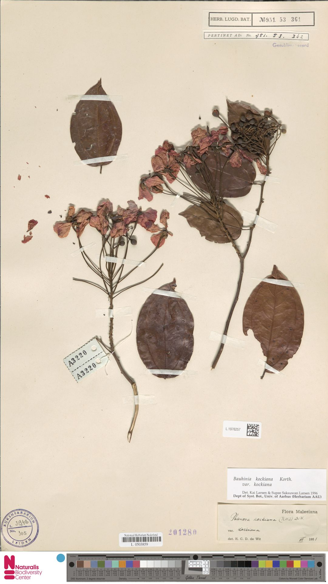 L.1976257 | Bauhinia kockiana var. kockiana