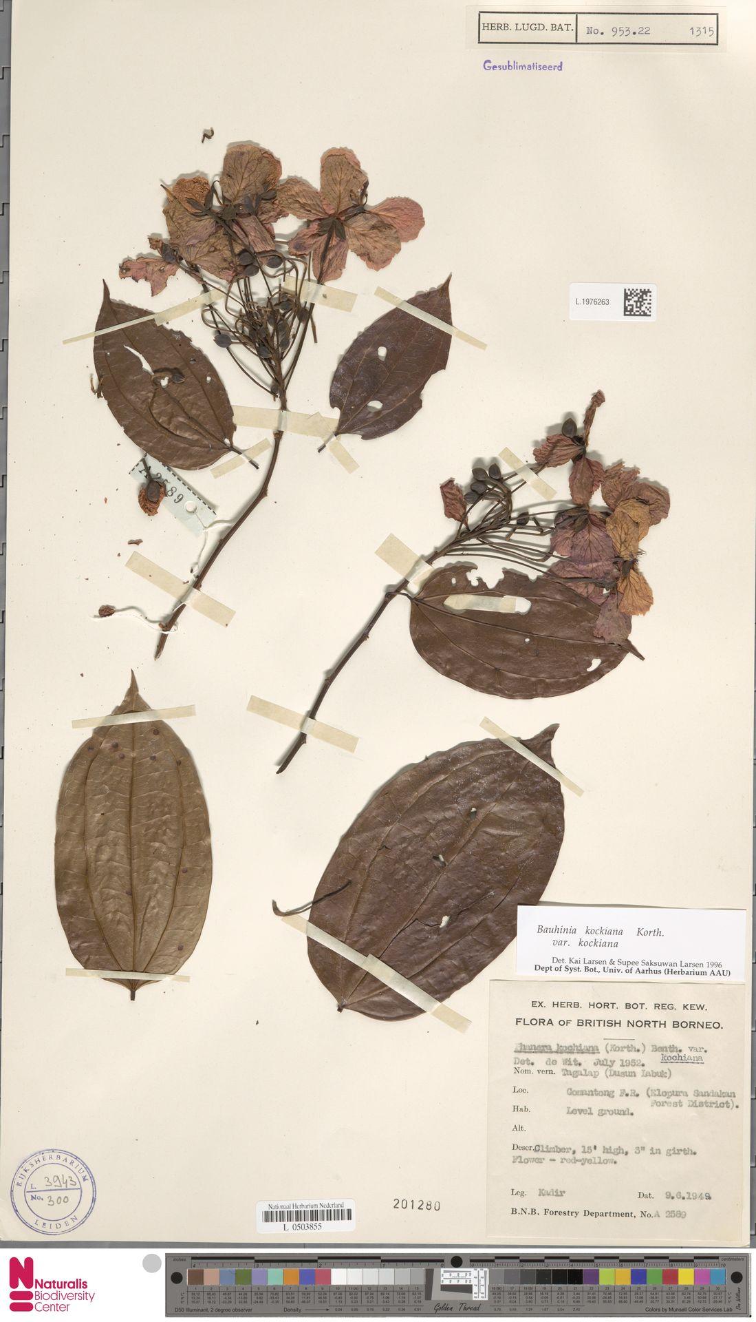 L.1976263 | Bauhinia kockiana var. kockiana