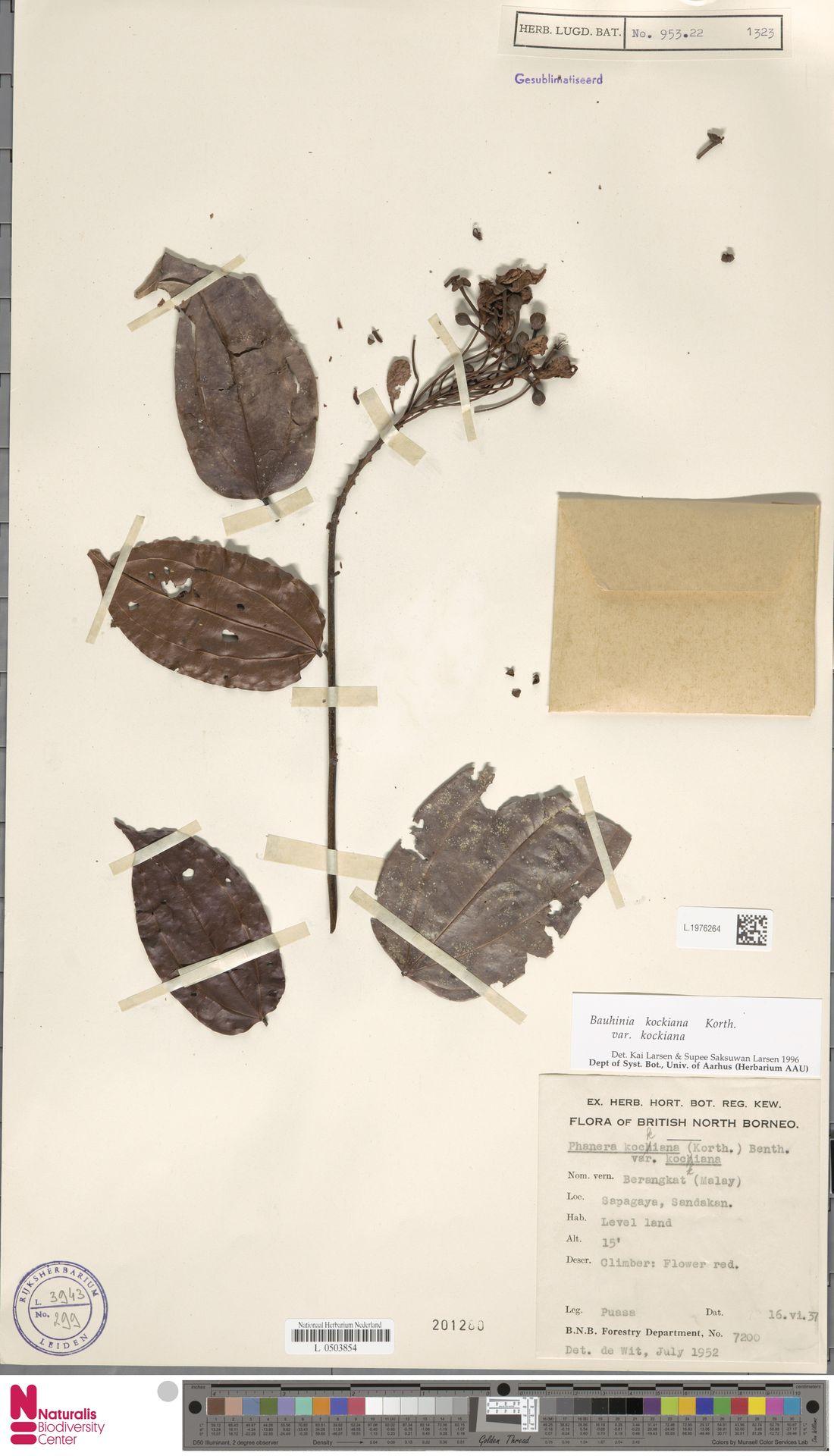 L.1976264 | Bauhinia kockiana var. kockiana