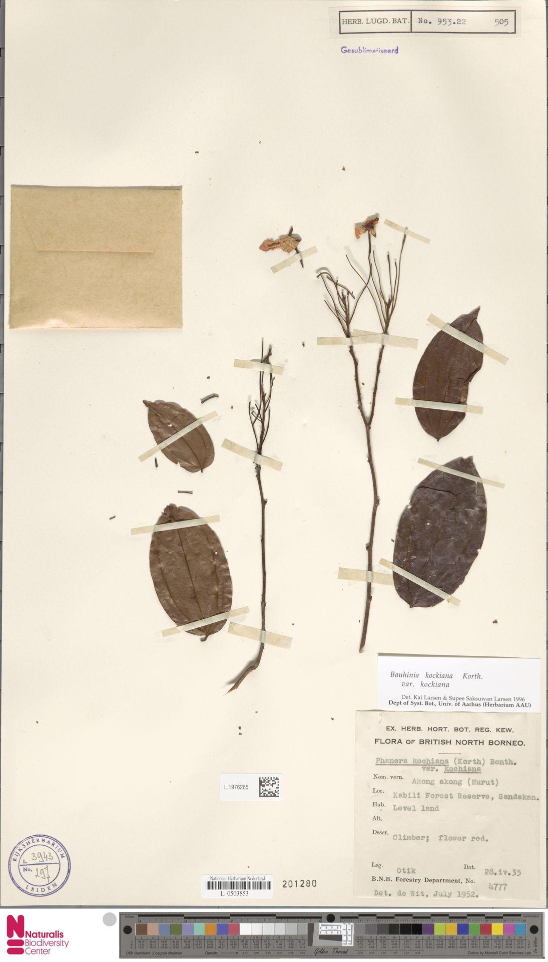 L.1976265 | Bauhinia kockiana var. kockiana