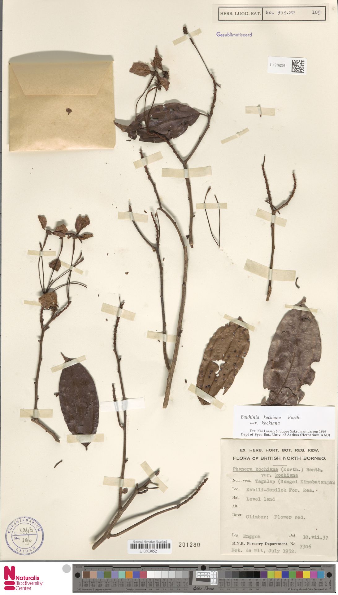 L.1976266 | Bauhinia kockiana var. kockiana