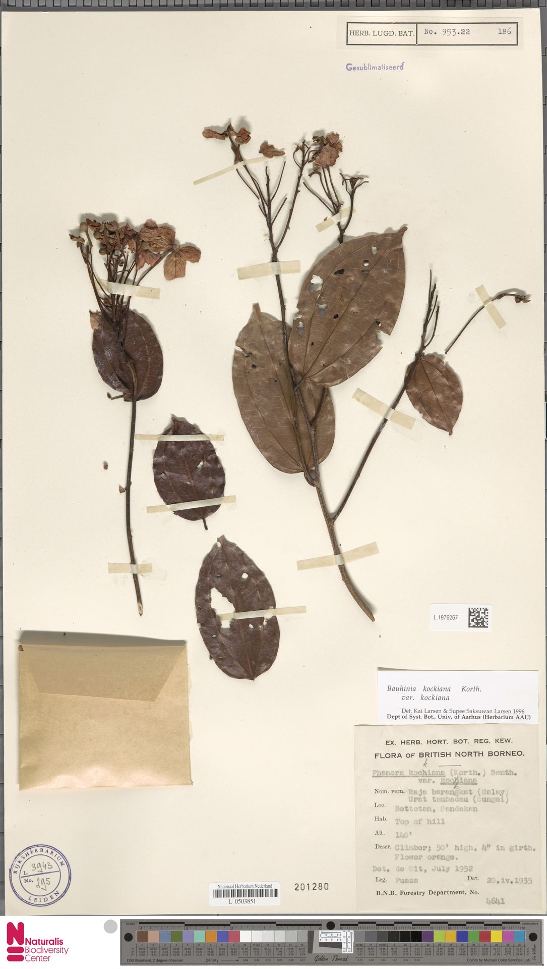 L.1976267 | Bauhinia kockiana var. kockiana