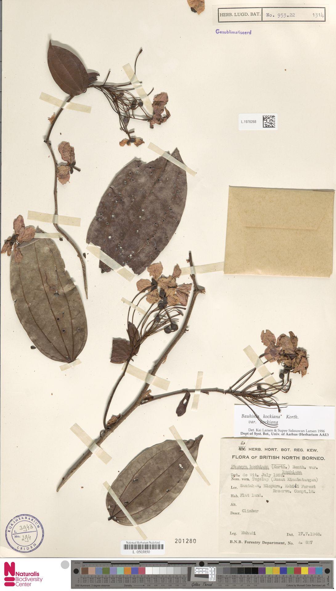 L.1976268 | Bauhinia kockiana var. kockiana
