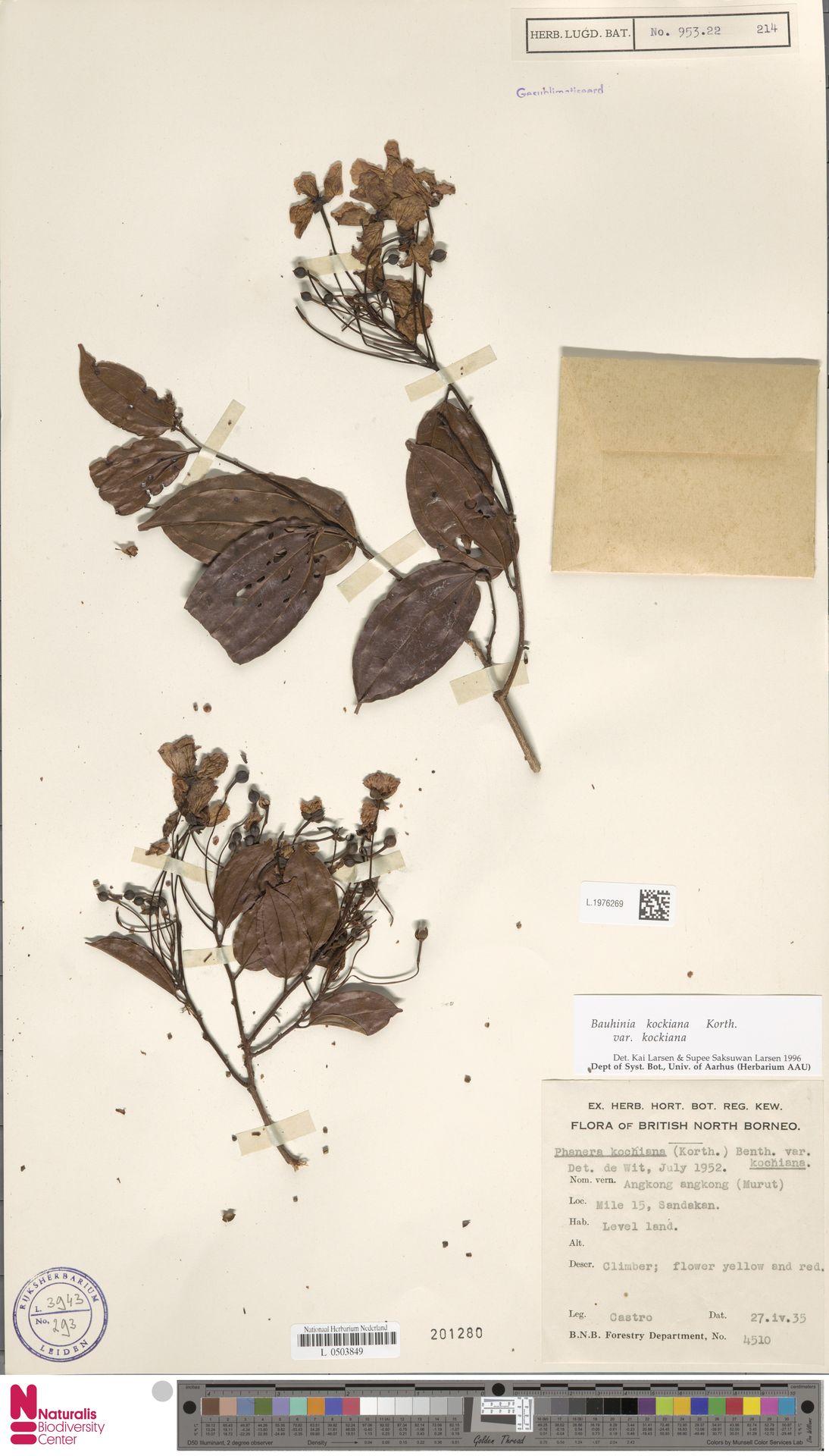 L.1976269 | Bauhinia kockiana var. kockiana