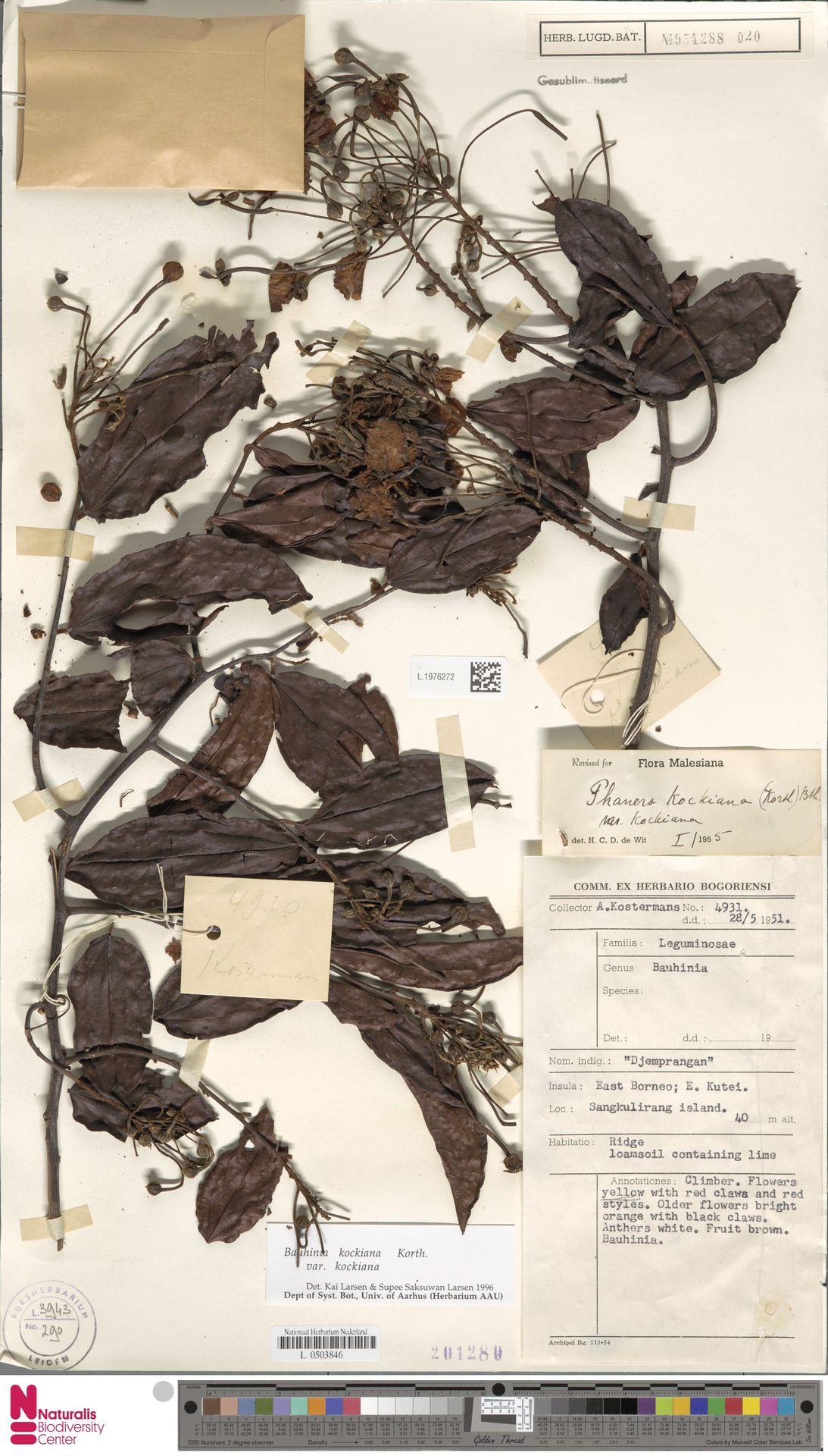 L.1976272 | Bauhinia kockiana var. kockiana