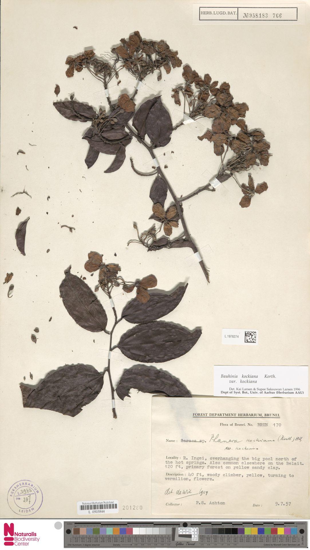 L.1976274 | Bauhinia kockiana var. kockiana