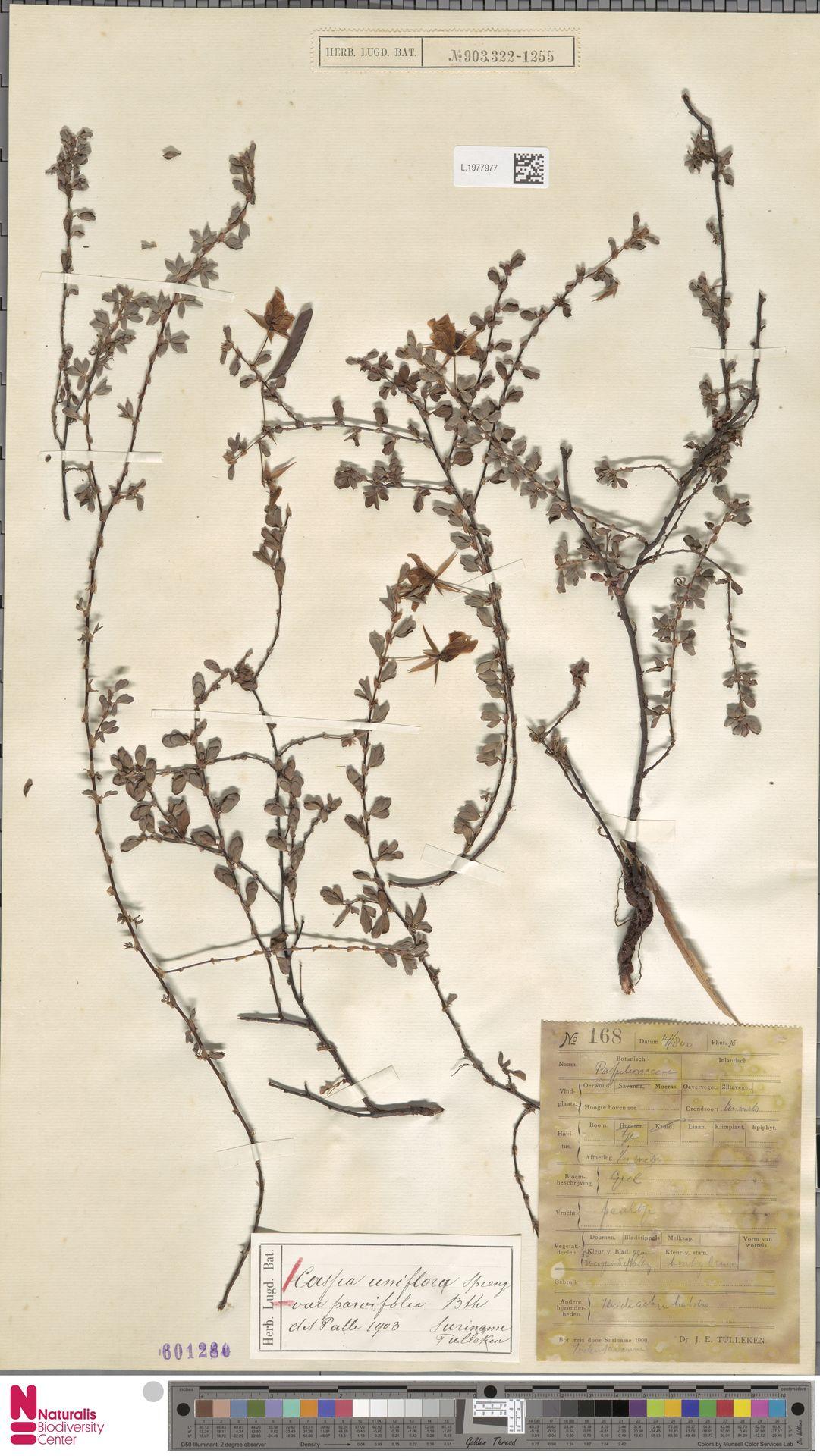 L.1977977 | Cassia uniflora var. parvifolia