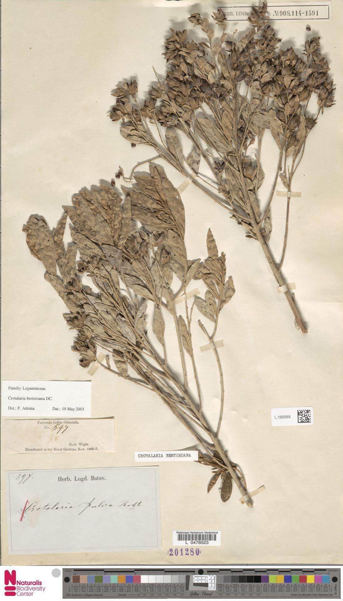 L.1980968 | Crotalaria berteroana DC.