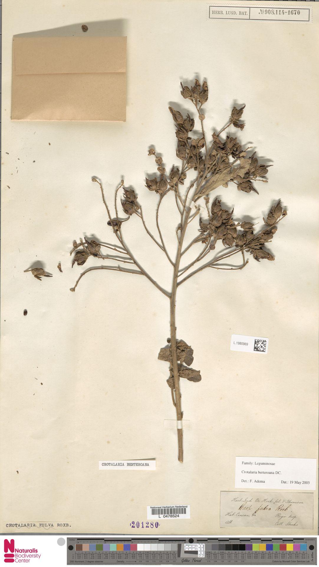 L.1980969 | Crotalaria berteroana DC.