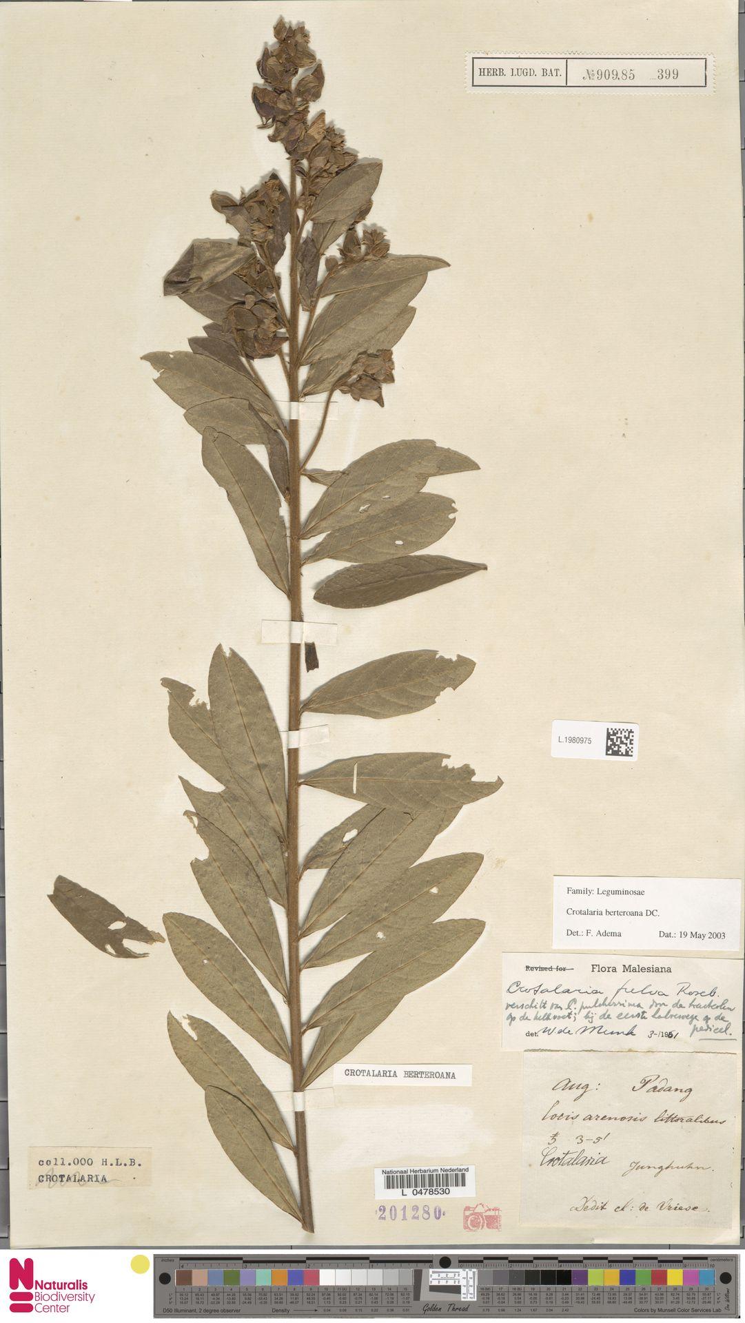 L.1980975   Crotalaria berteroana DC.