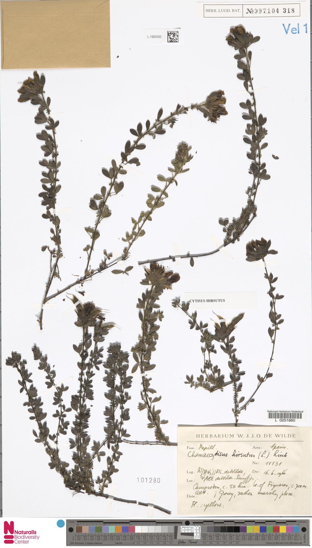 L.1983583 | Cytisus hirsutus L.