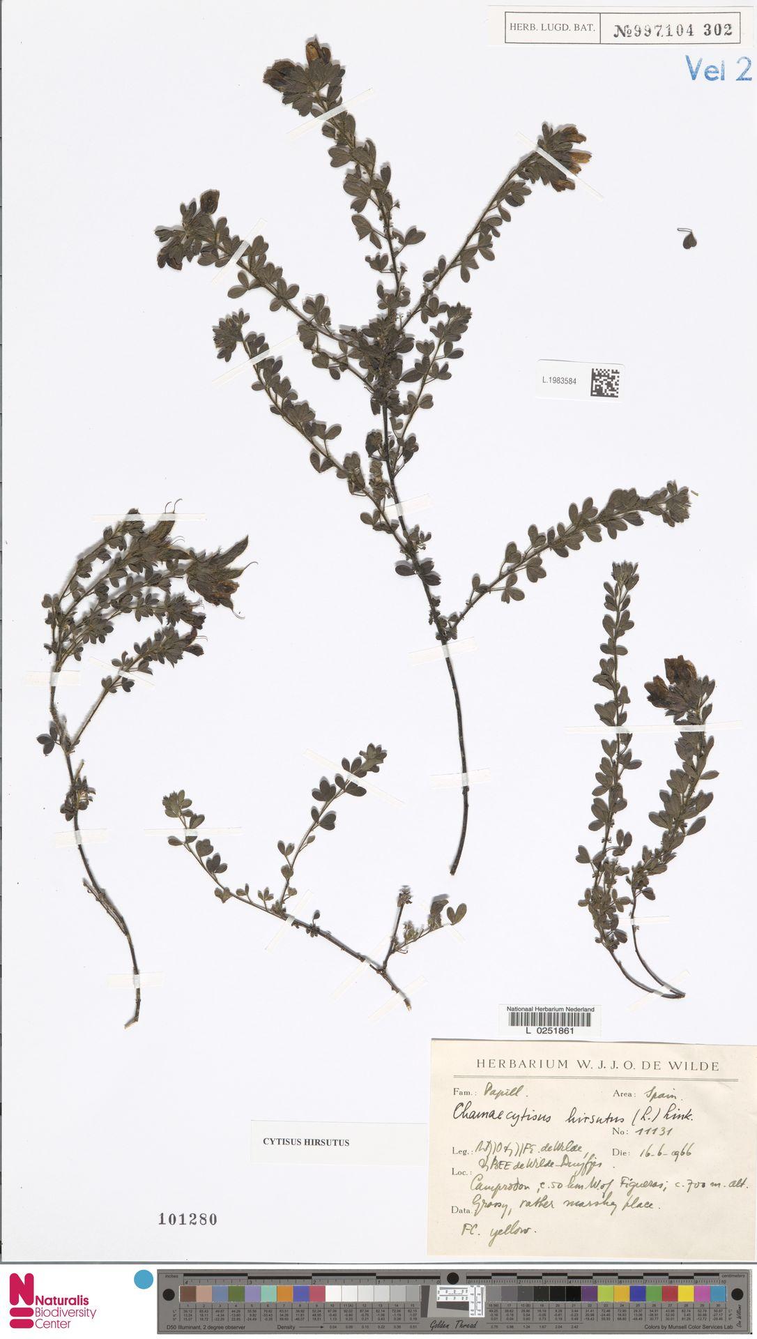 L.1983584 | Cytisus hirsutus L.