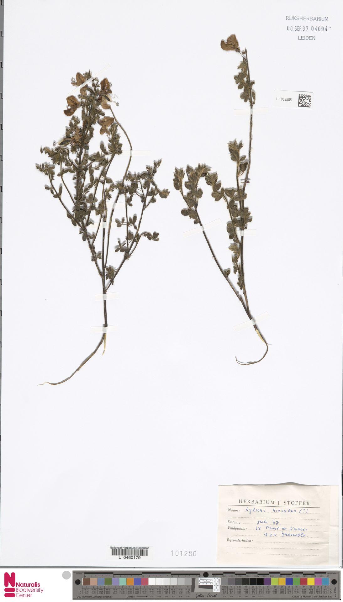 L.1983585 | Cytisus hirsutus L.