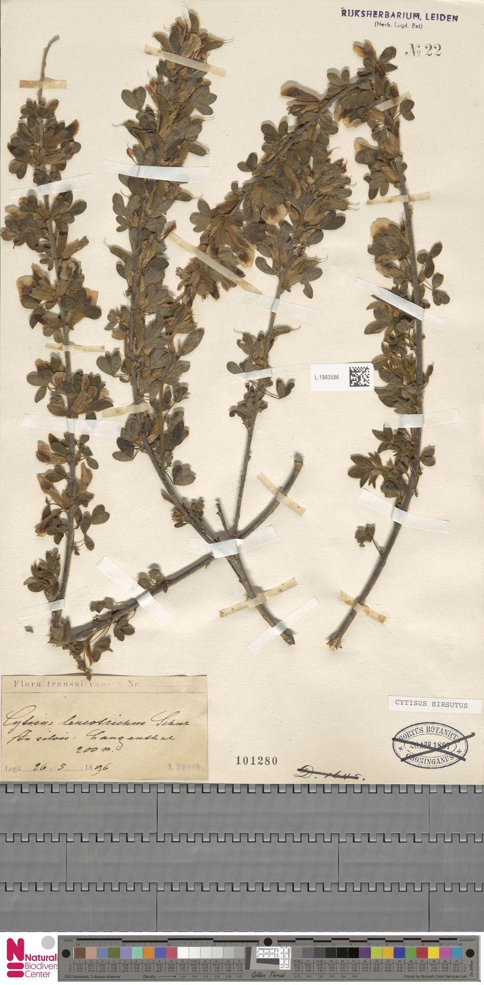 L.1983586 | Cytisus hirsutus L.