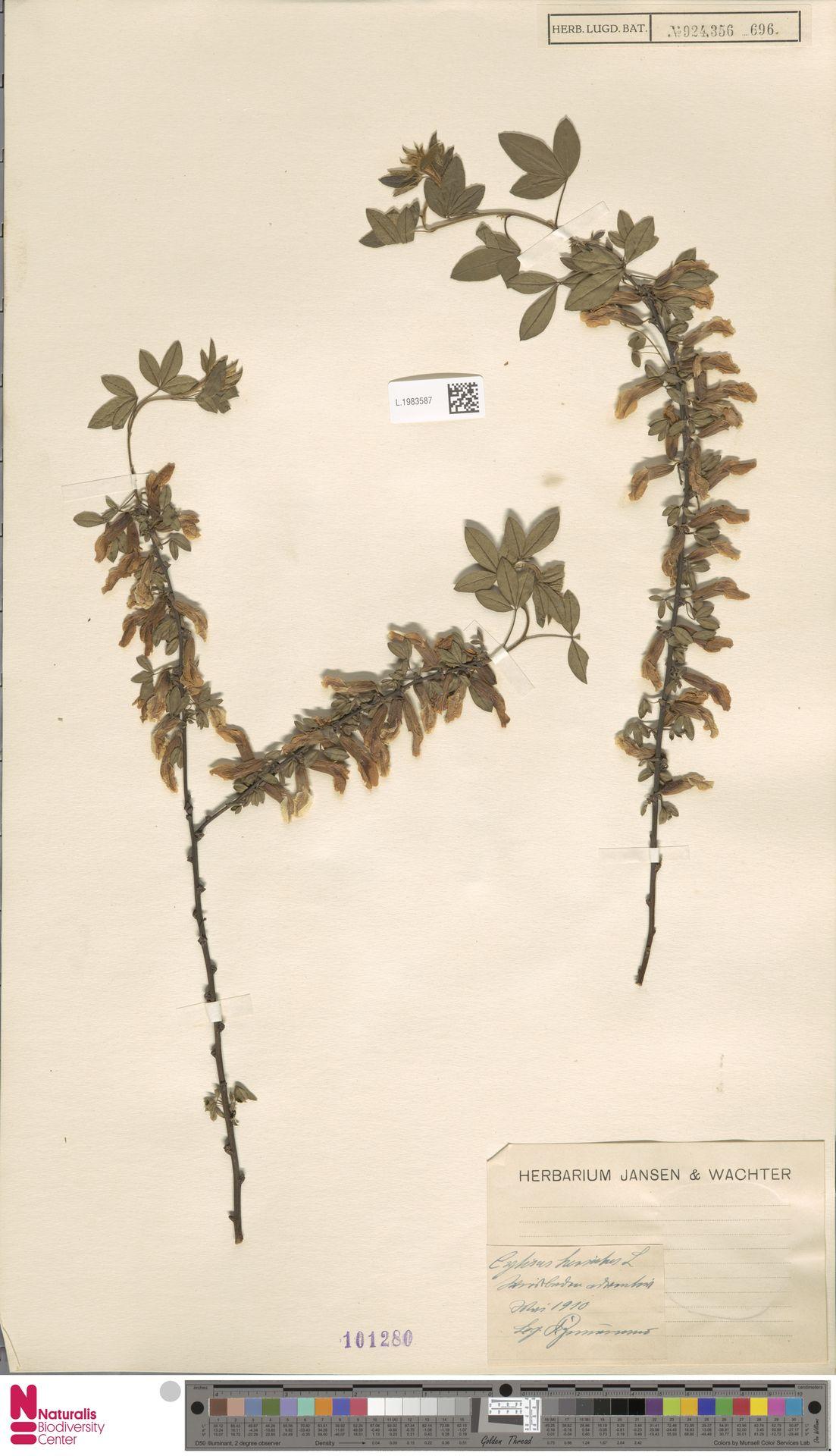 L.1983587 | Cytisus hirsutus L.