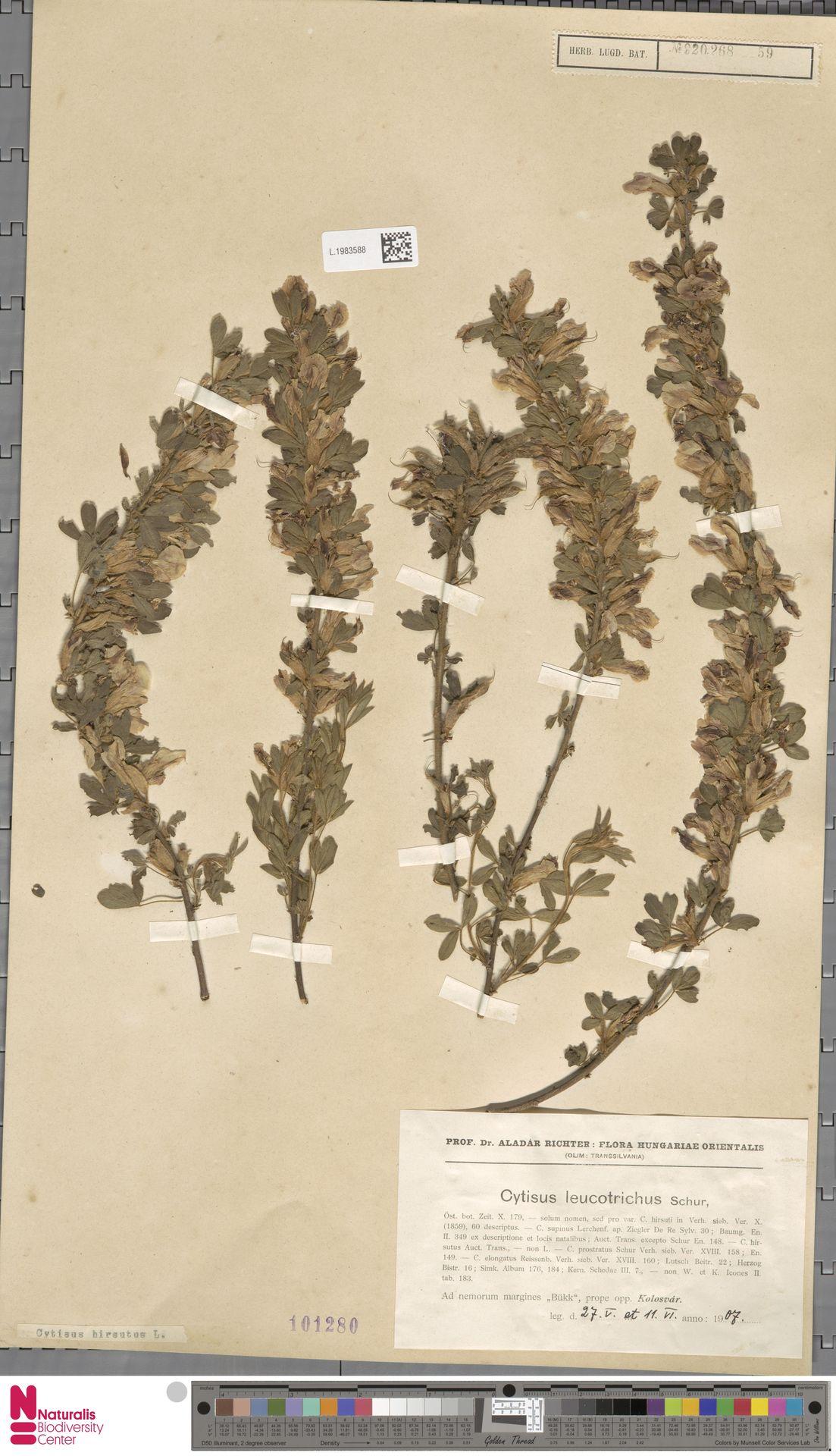 L.1983588 | Cytisus hirsutus L.
