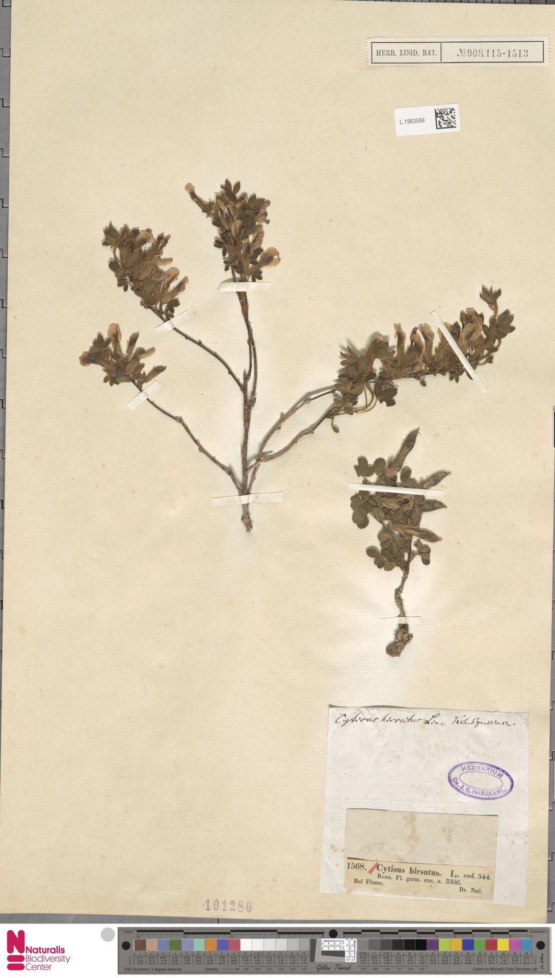 L.1983589 | Cytisus hirsutus L.