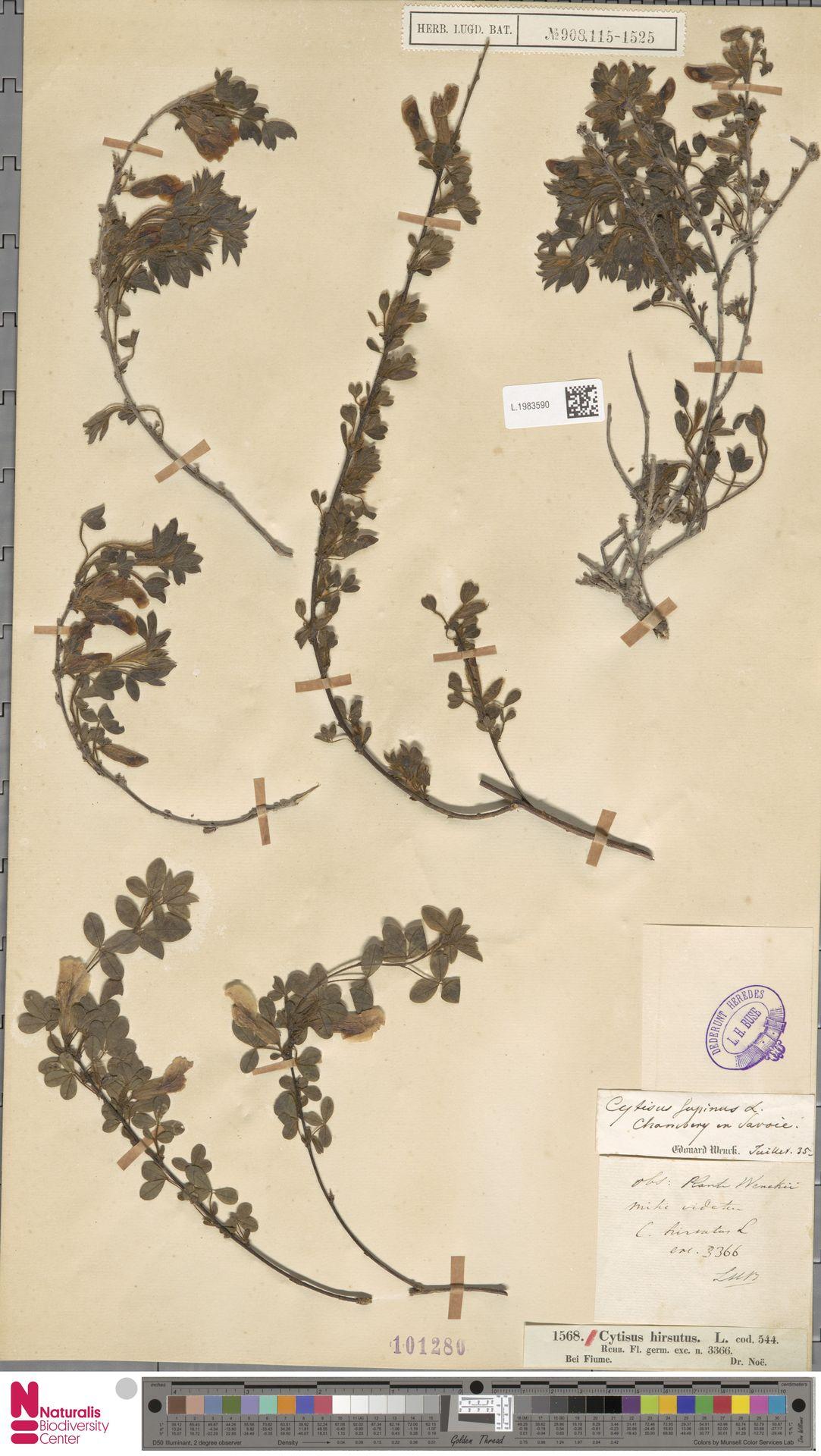 L.1983590 | Cytisus hirsutus L.