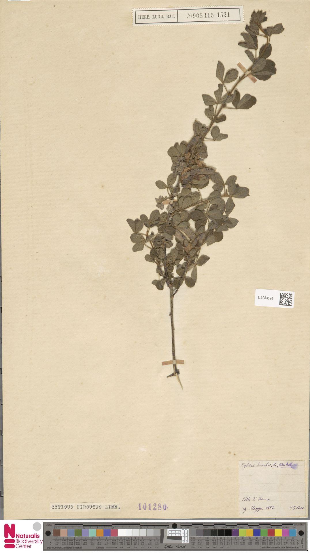 L.1983594 | Cytisus hirsutus L.