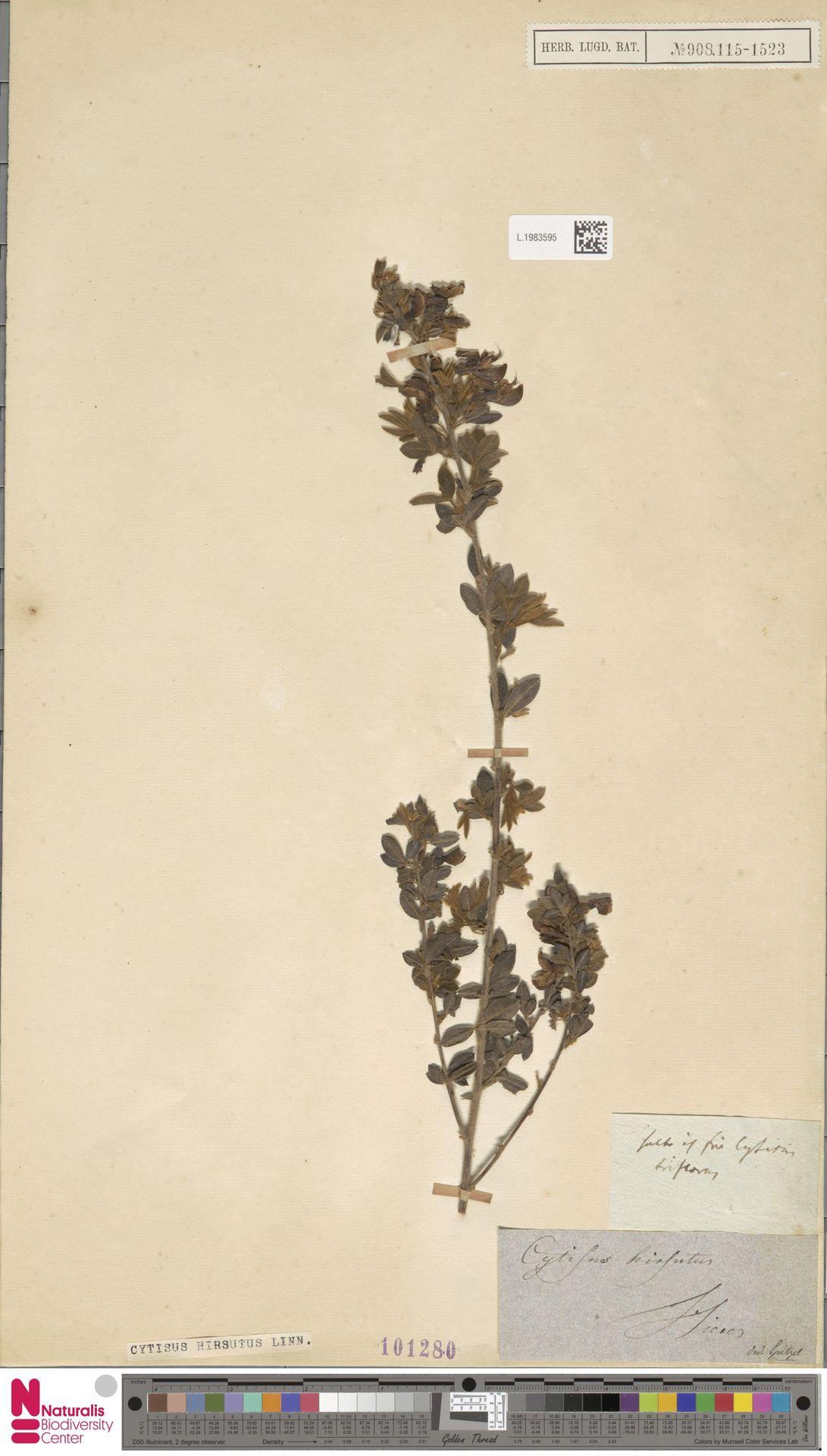 L.1983595 | Cytisus hirsutus L.