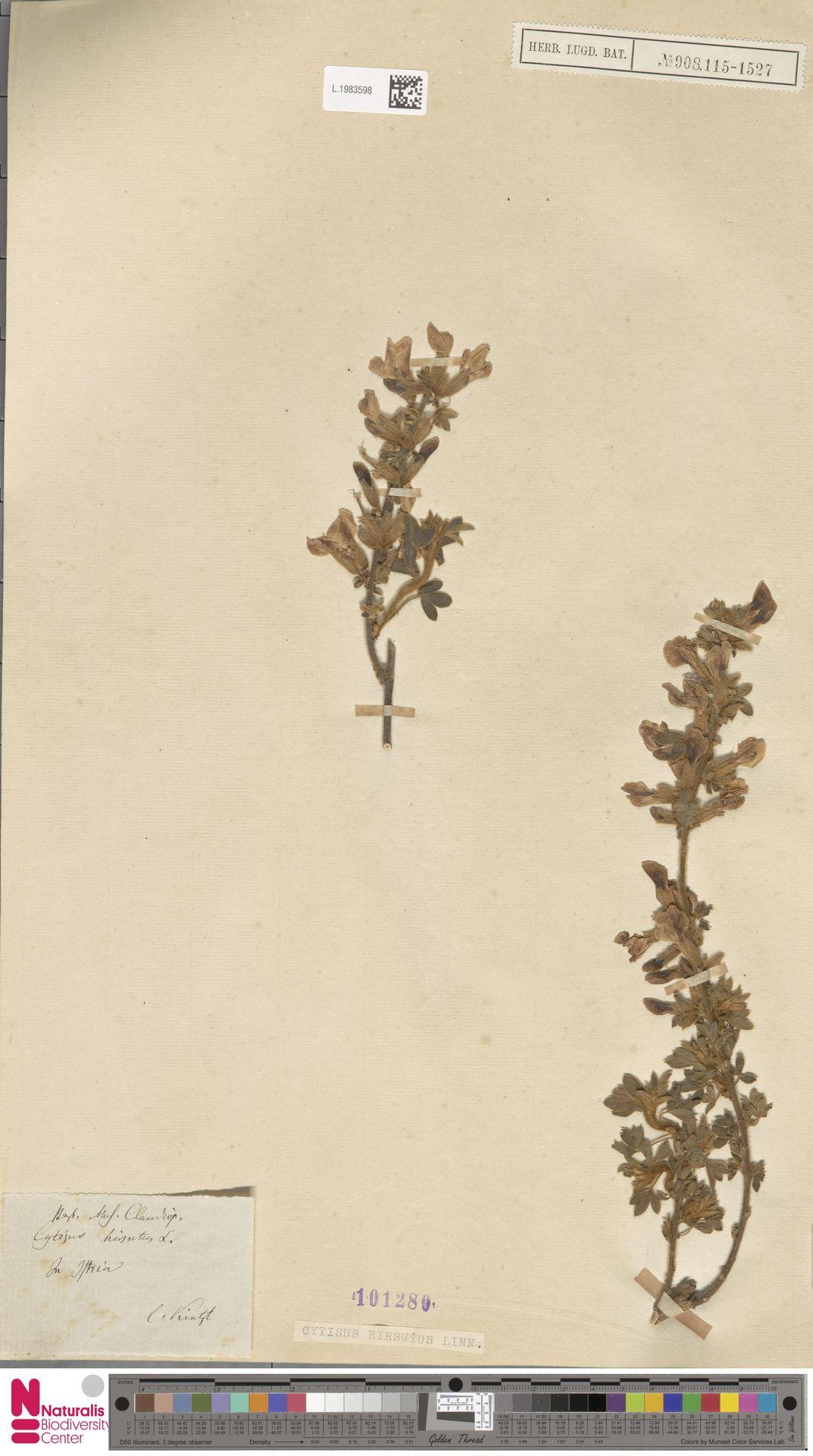 L.1983598 | Cytisus hirsutus L.