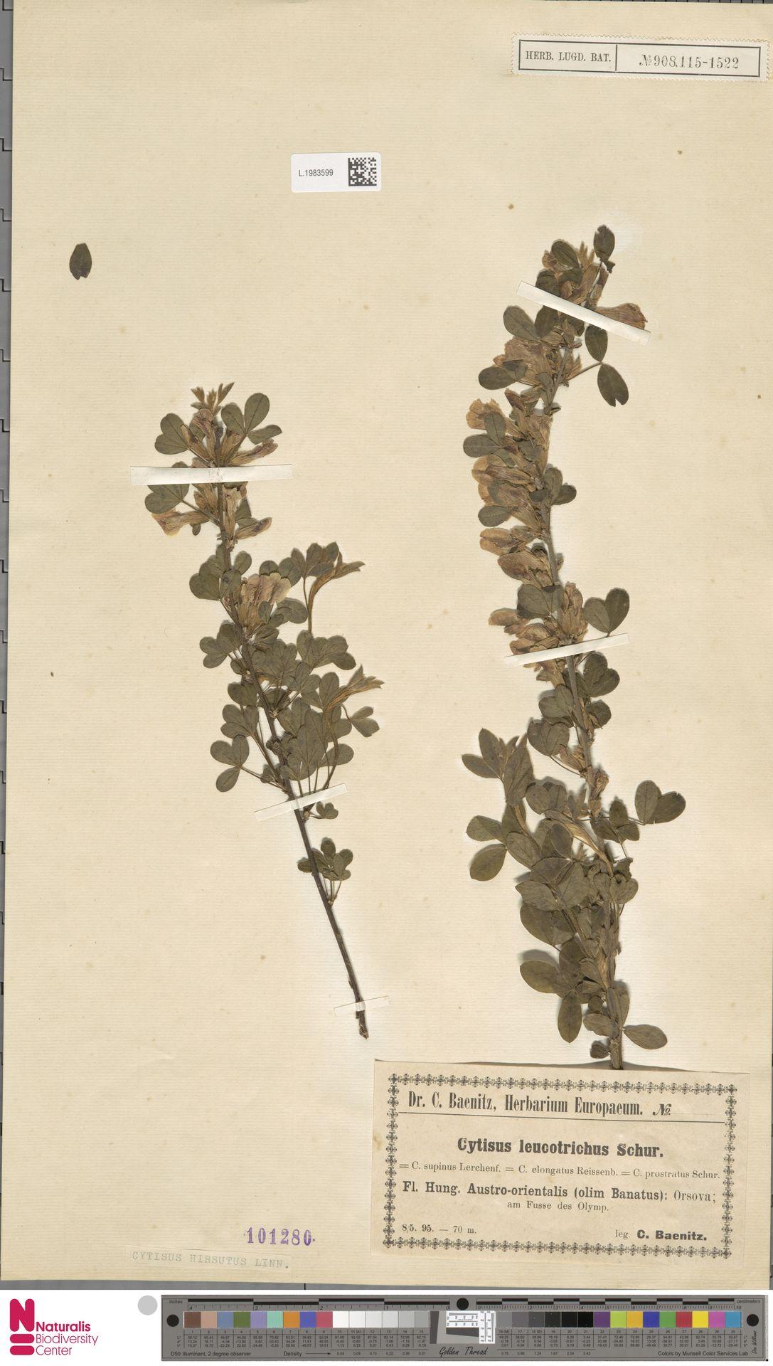 L.1983599   Cytisus hirsutus L.