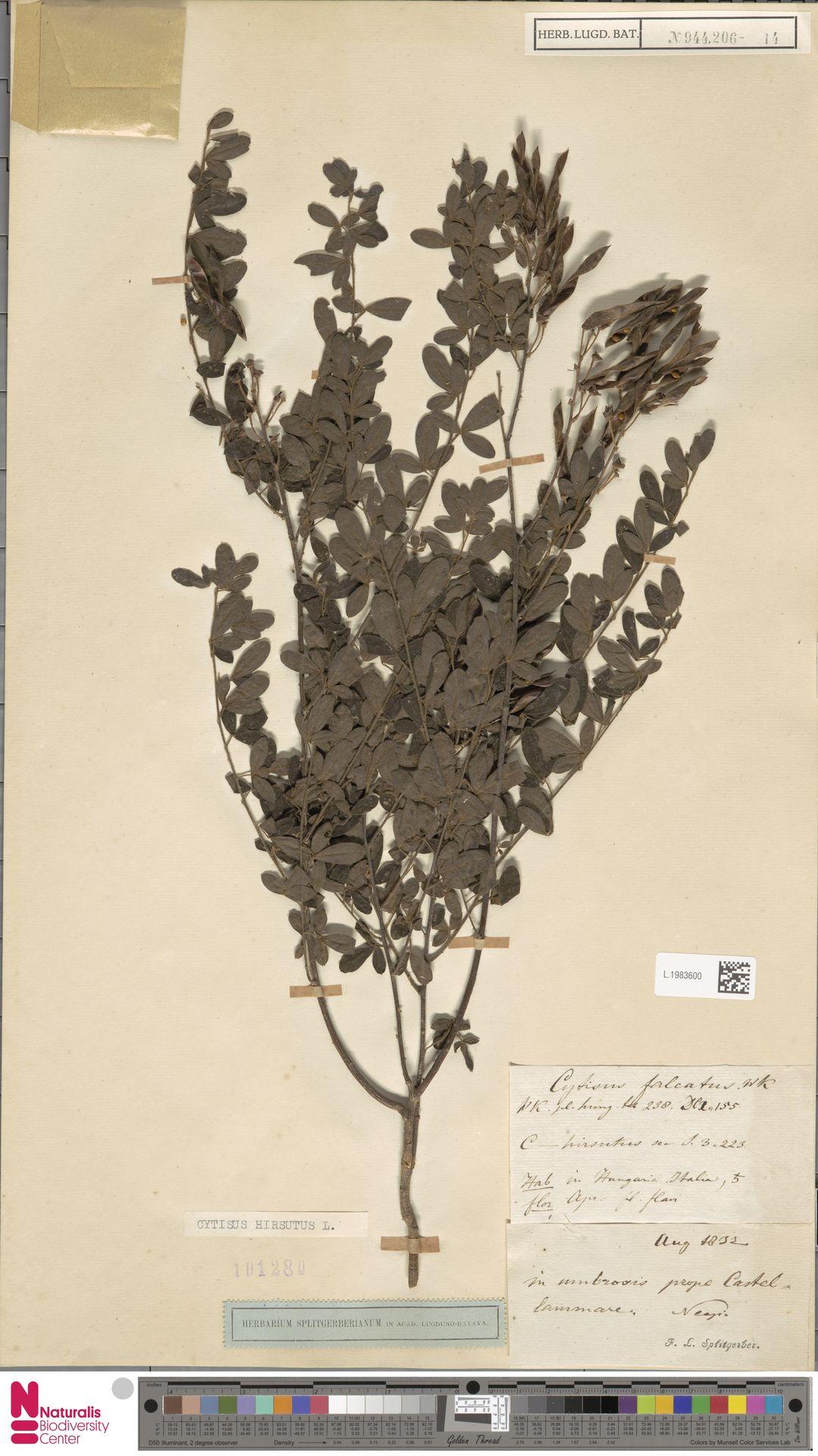 L.1983600 | Cytisus hirsutus L.