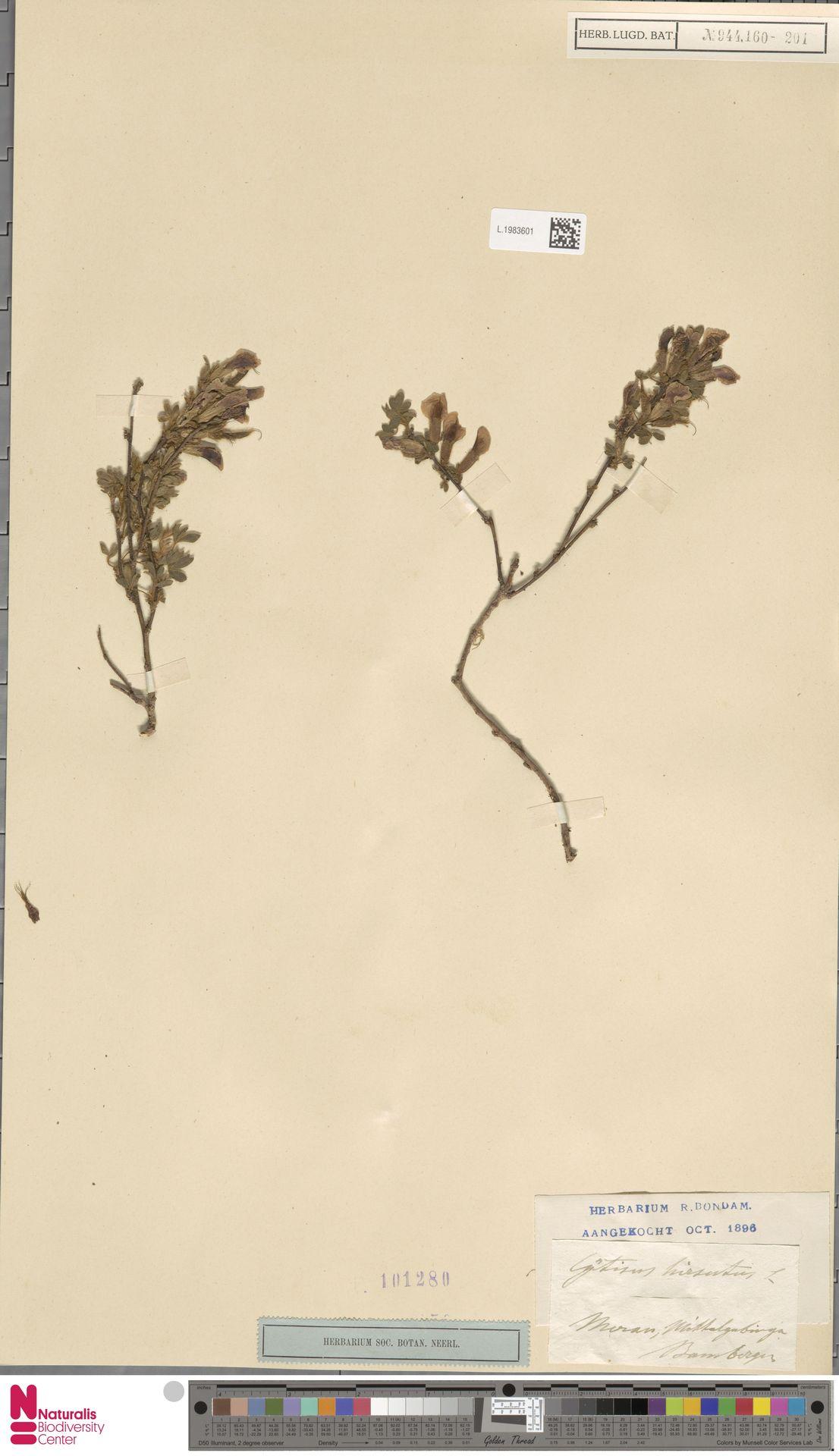 L.1983601 | Cytisus hirsutus L.