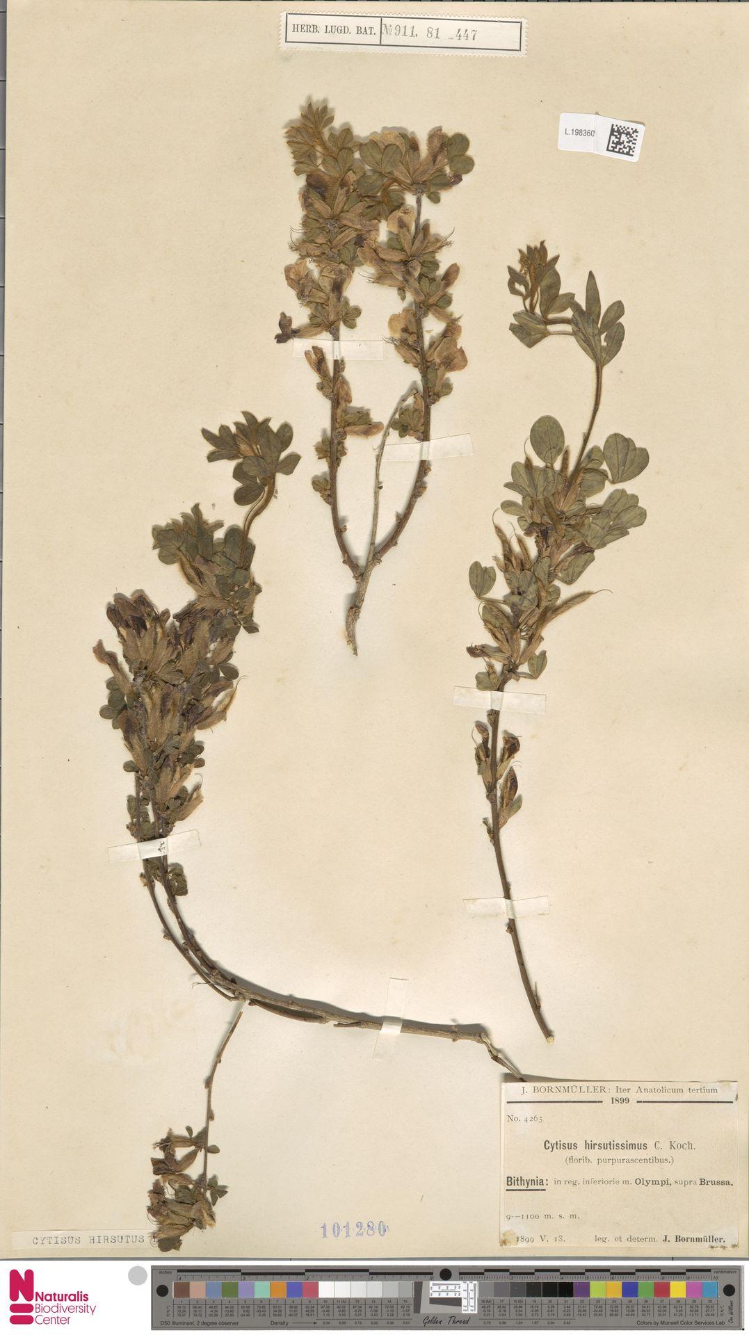 L.1983602 | Cytisus hirsutus L.