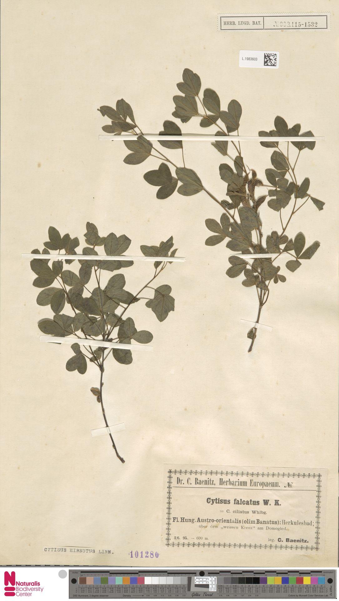 L.1983603 | Cytisus hirsutus L.