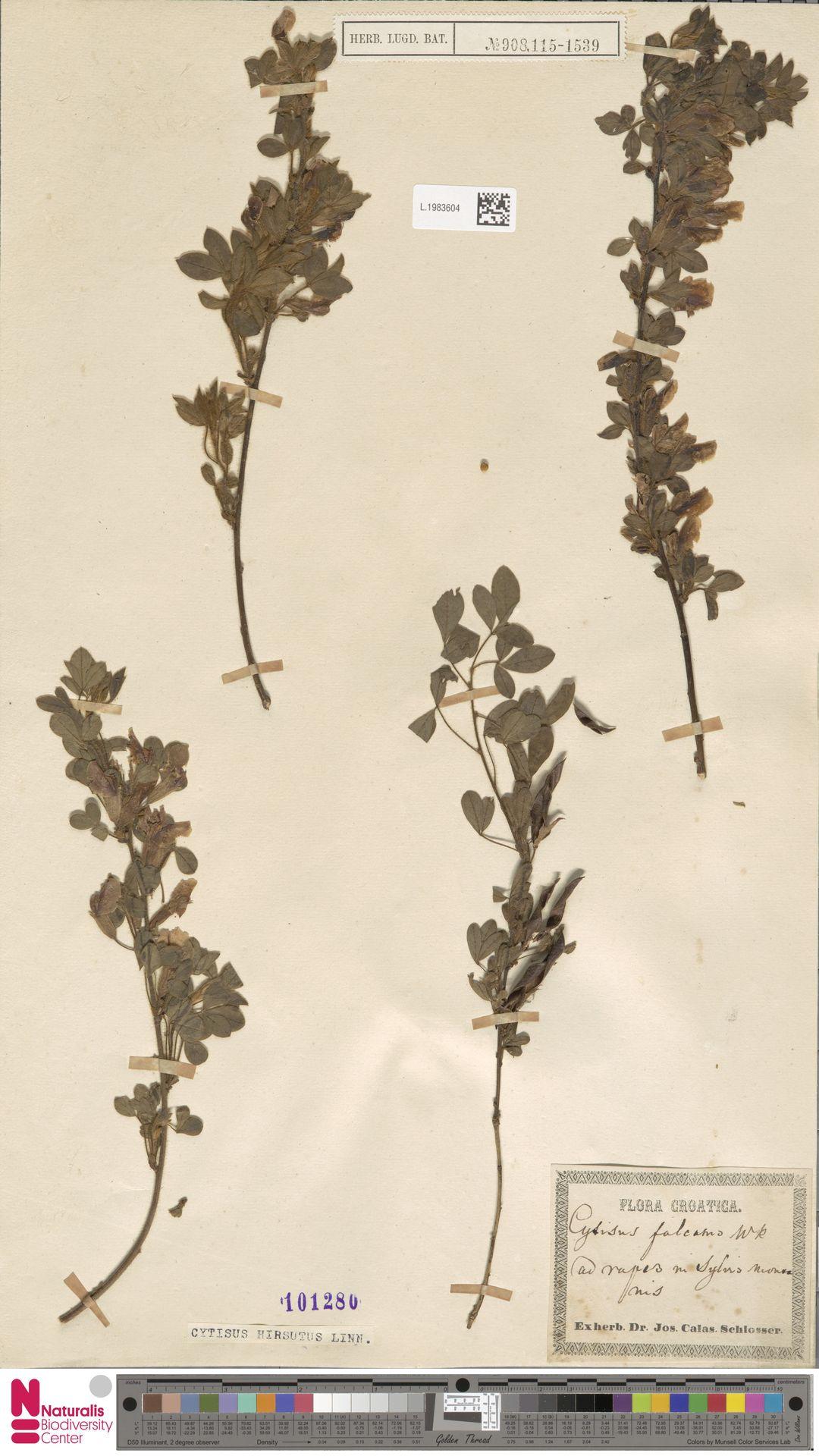 L.1983604 | Cytisus hirsutus L.