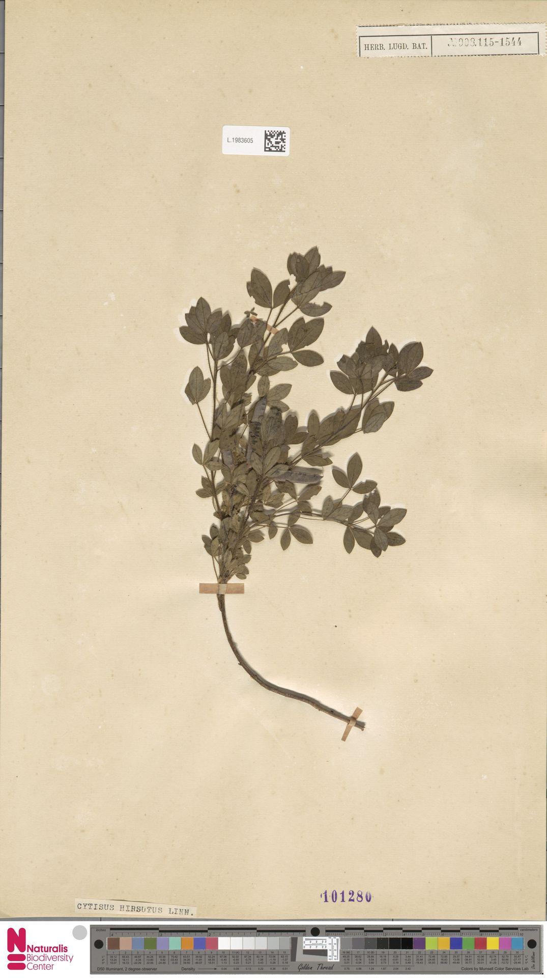 L.1983605 | Cytisus hirsutus L.