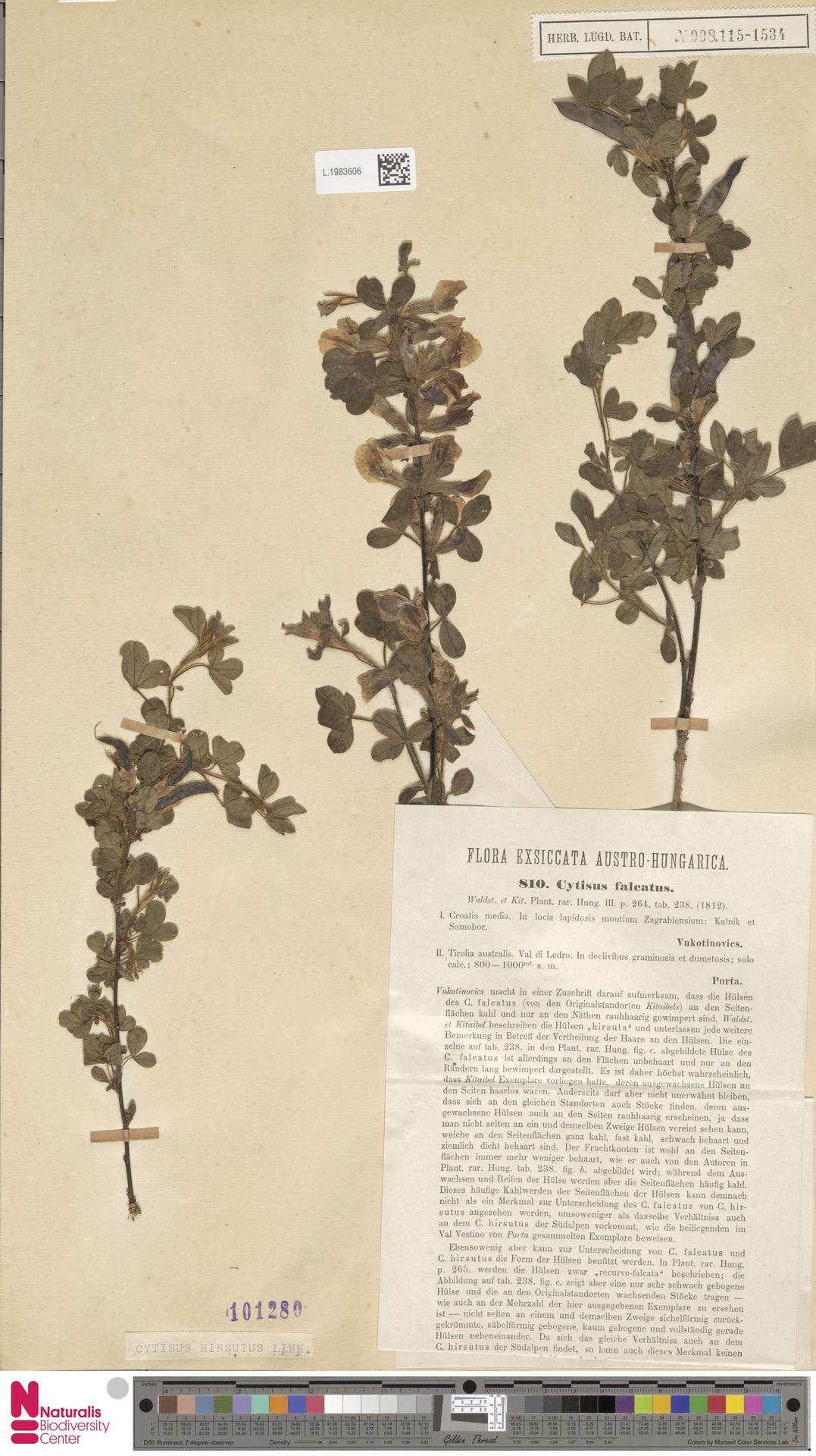 L.1983606 | Cytisus hirsutus L.