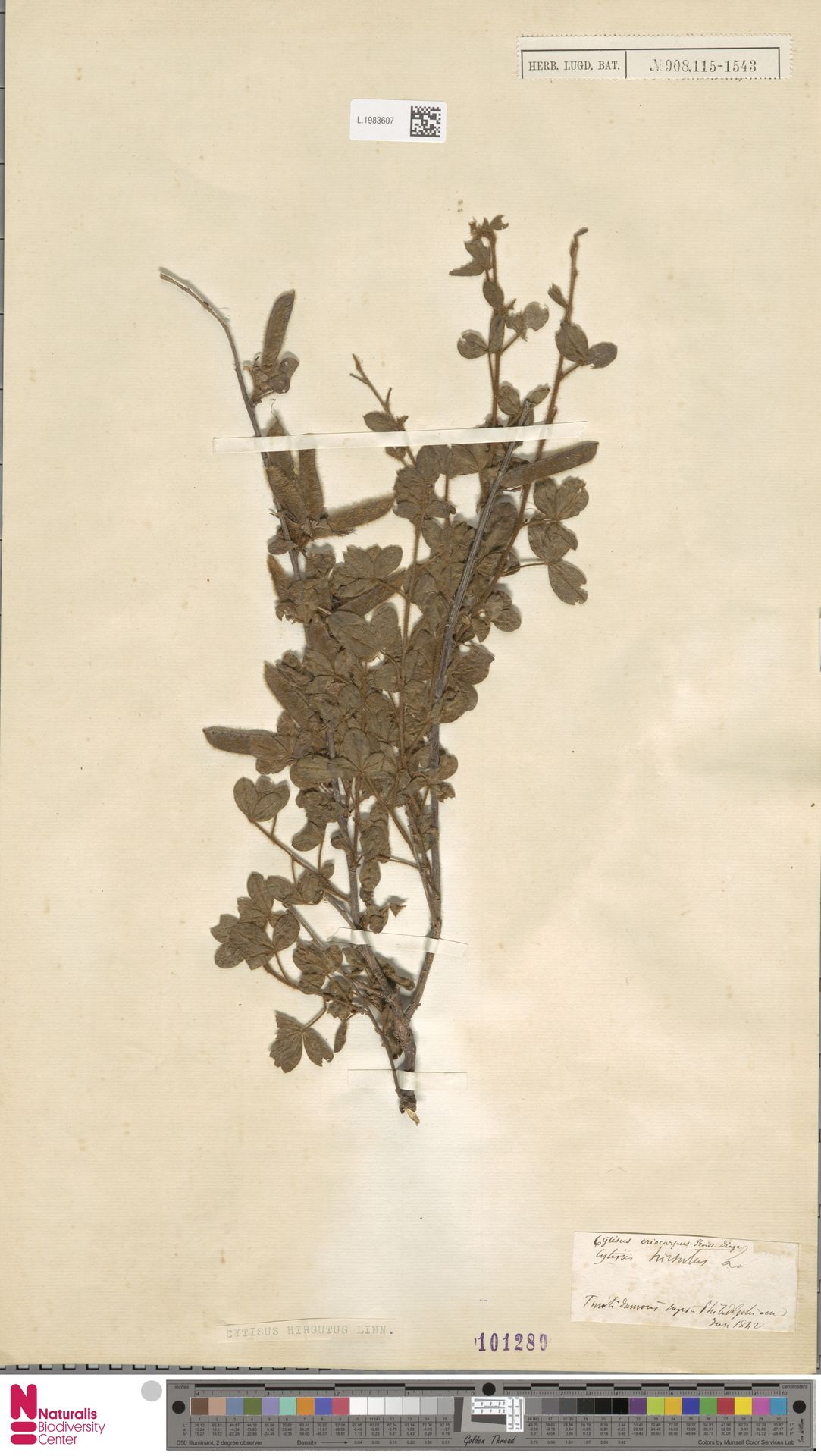 L.1983607 | Cytisus hirsutus L.